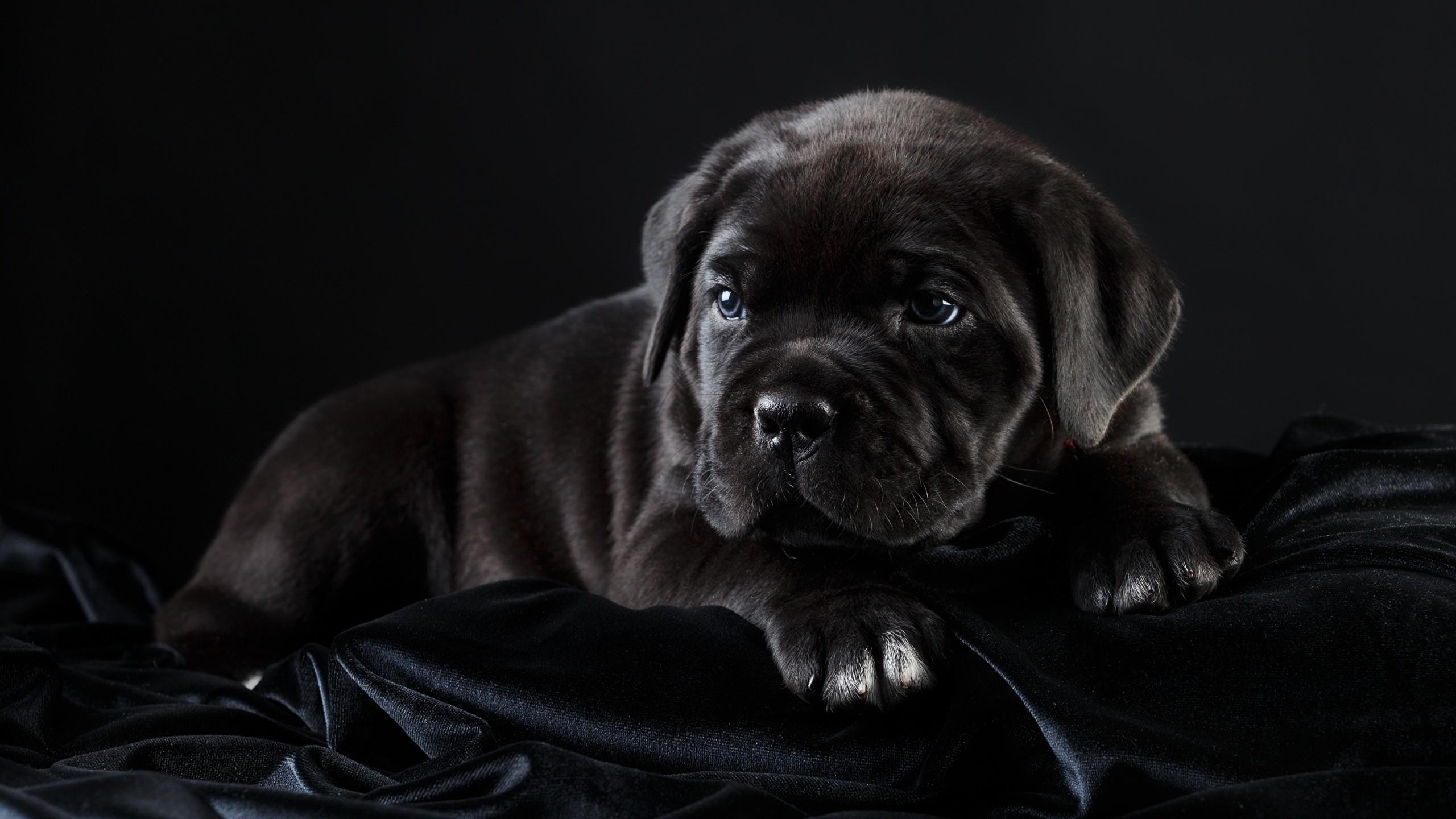 Image Puppy Cane Corso Dogs Black Animals Black background 2560×1440