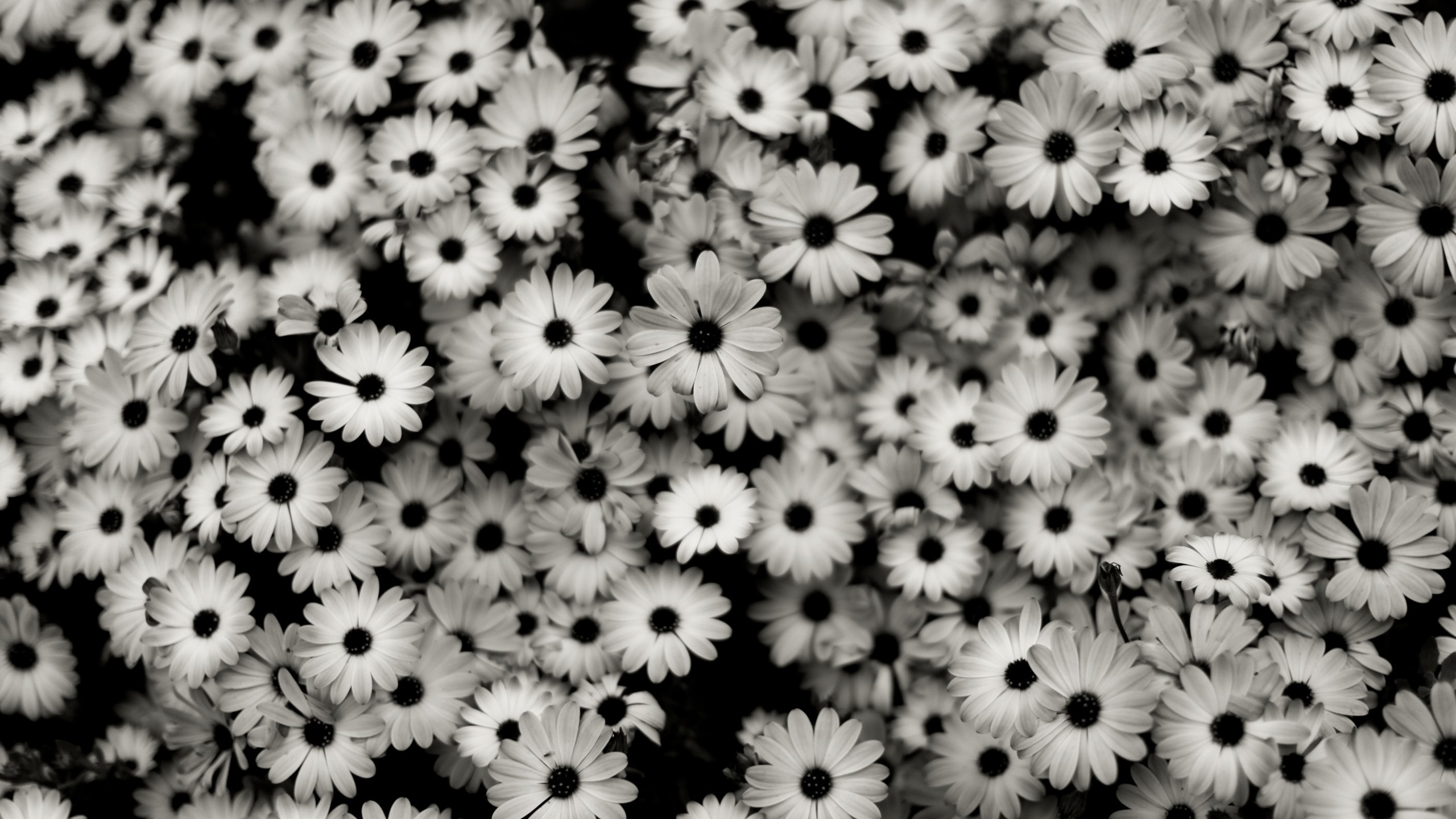 Preview wallpaper black white, flowers, grey, daisies 2560×1440