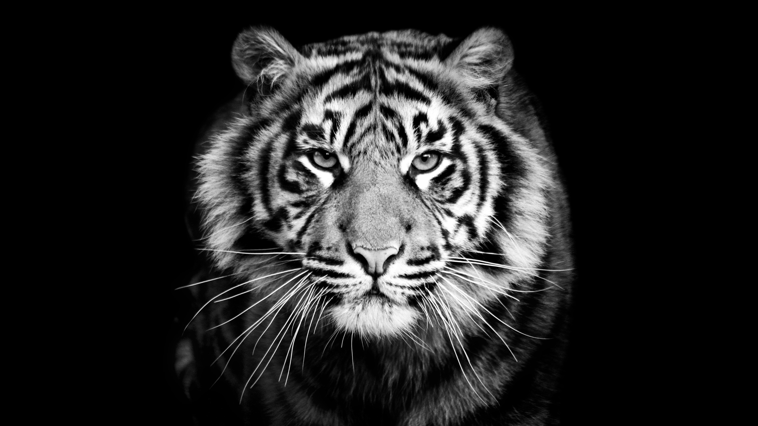 Animals, Tiger, Predator, Black And White Backgroun, Whiskers, Black  Background, Animals …
