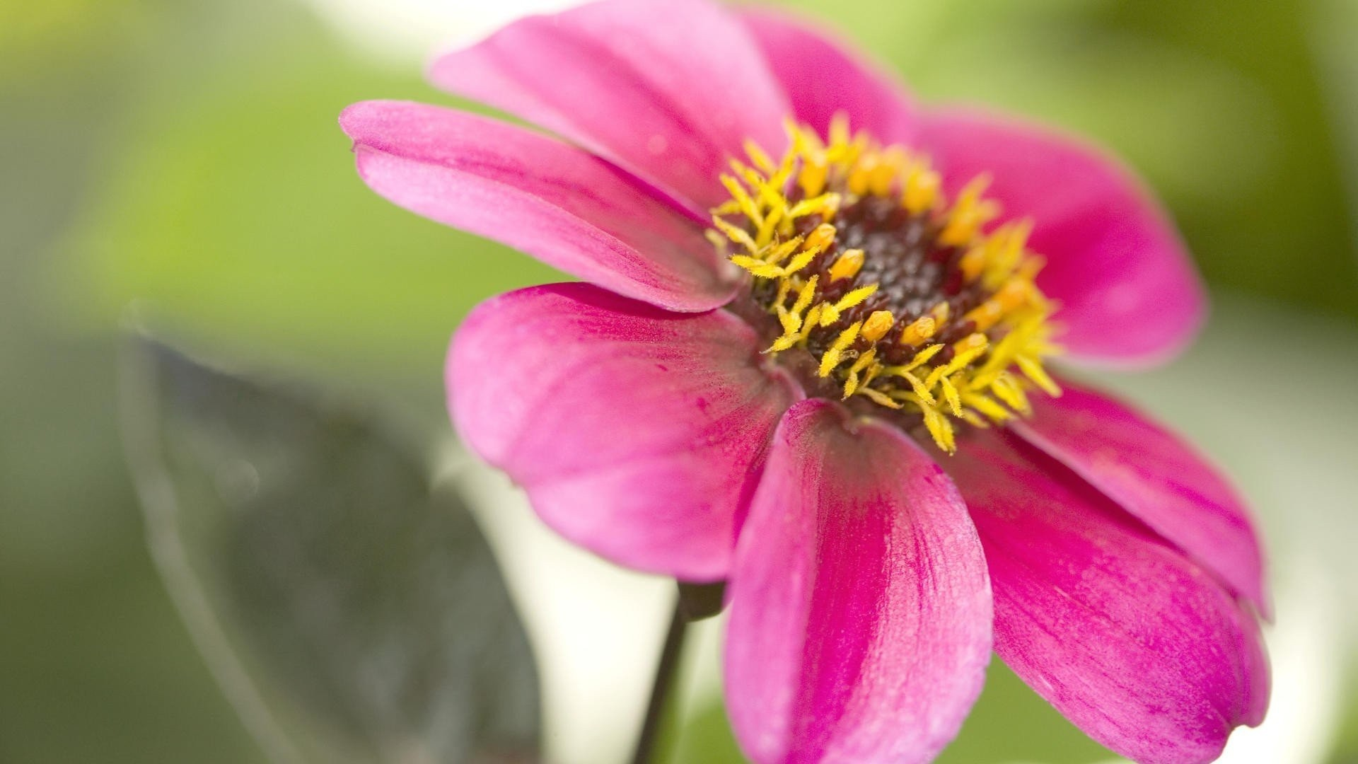 #555522 Color – Flowers Pink Nature Hd Themes For Windows 8 for HD 16: