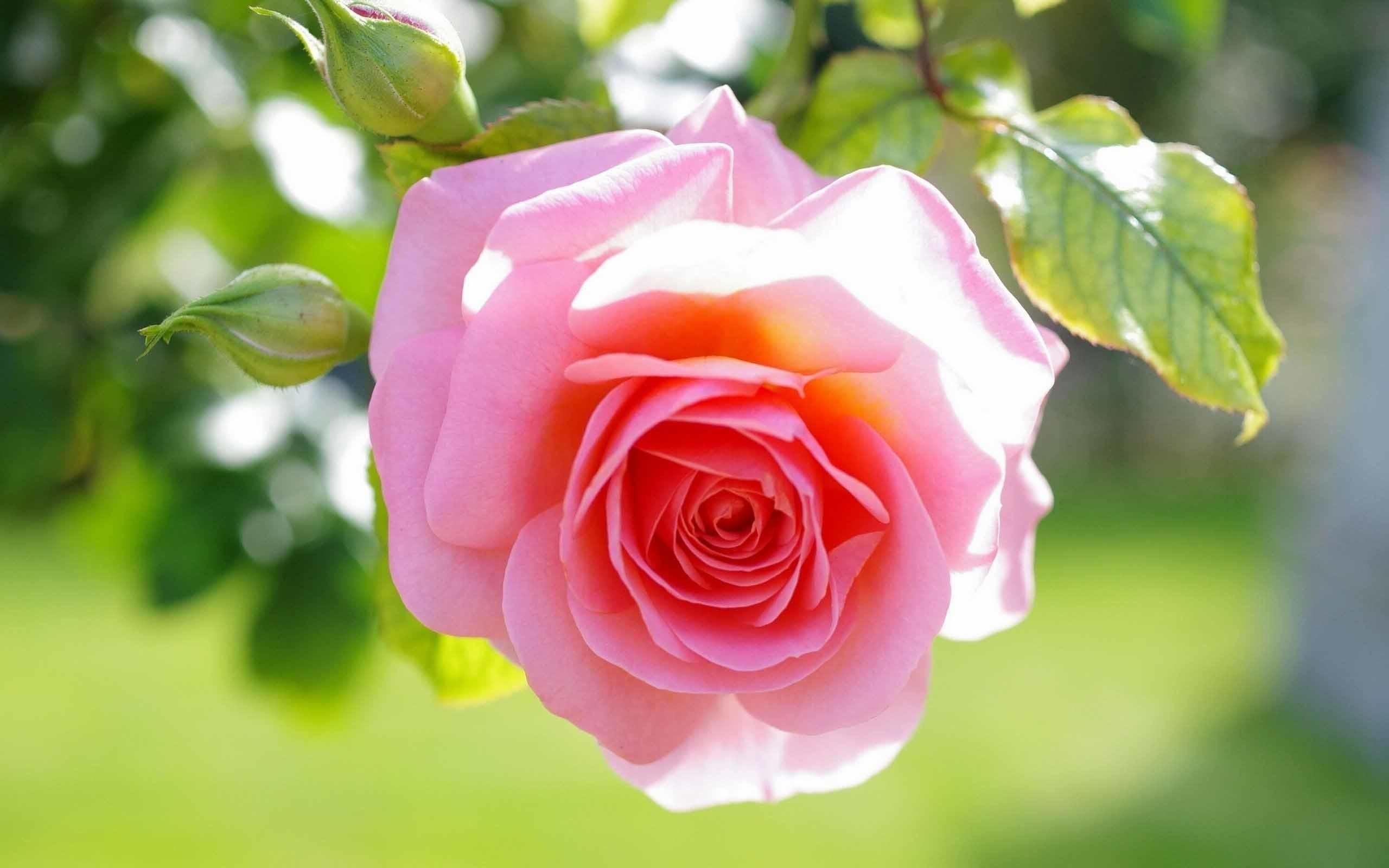 Pink rose sunlight love hd wallpapers