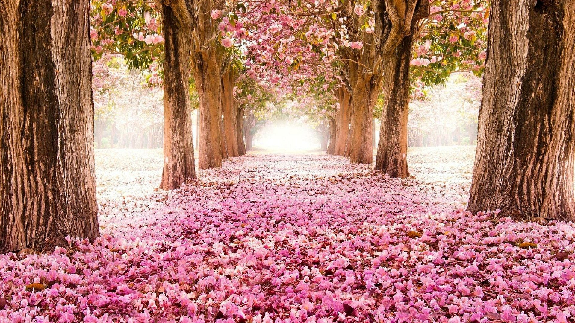 Flowers – Blossoming Cherry Blossoms Nature Trees Tree Rows Flower Desktop  Themes Download for HD 16