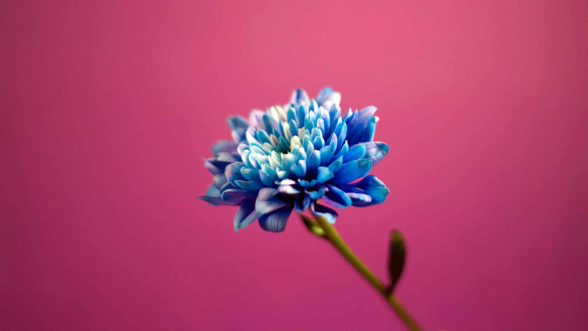 Blue in Pink Background