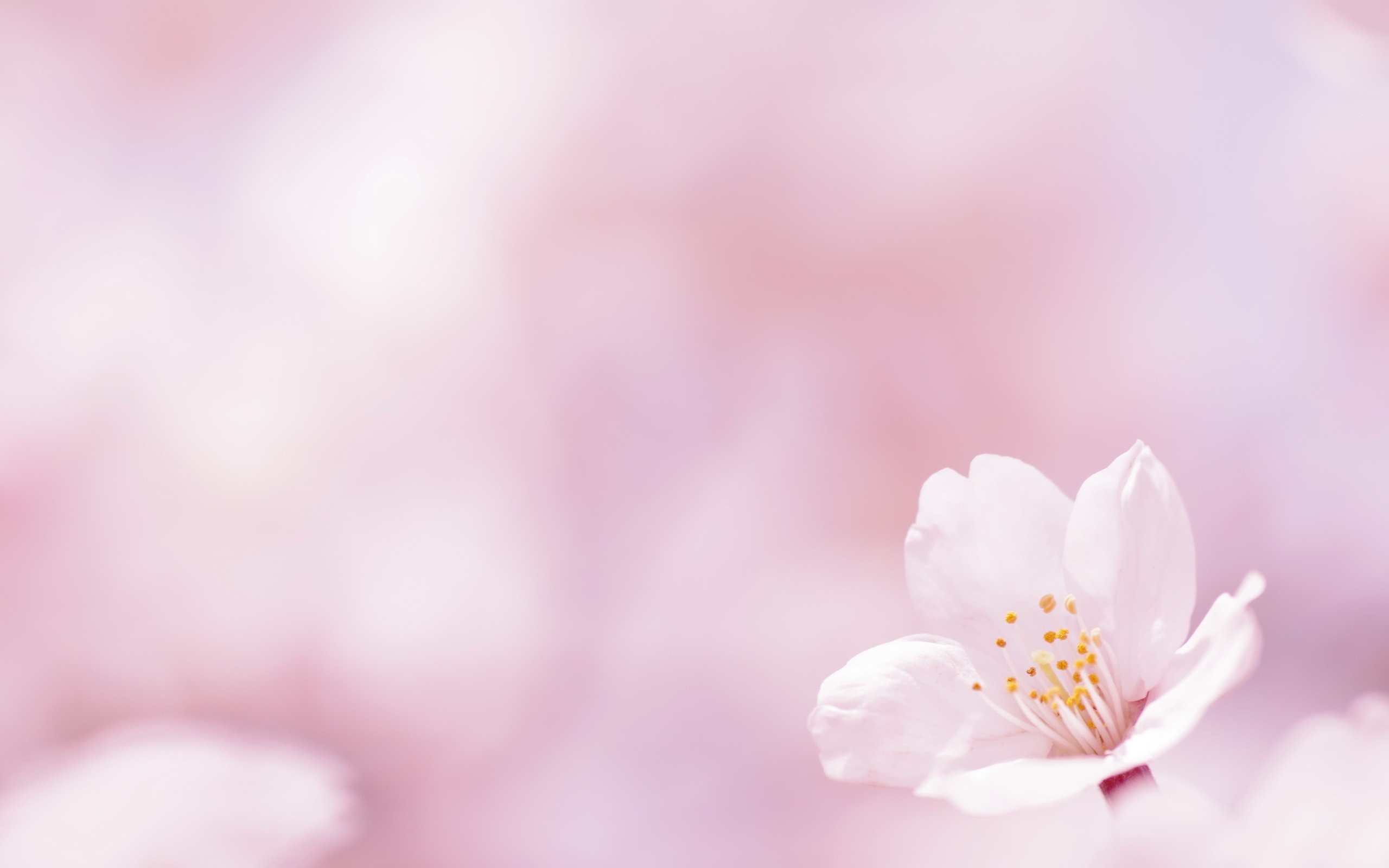 Flower on a white background wallpapers and images wallpapers #3830