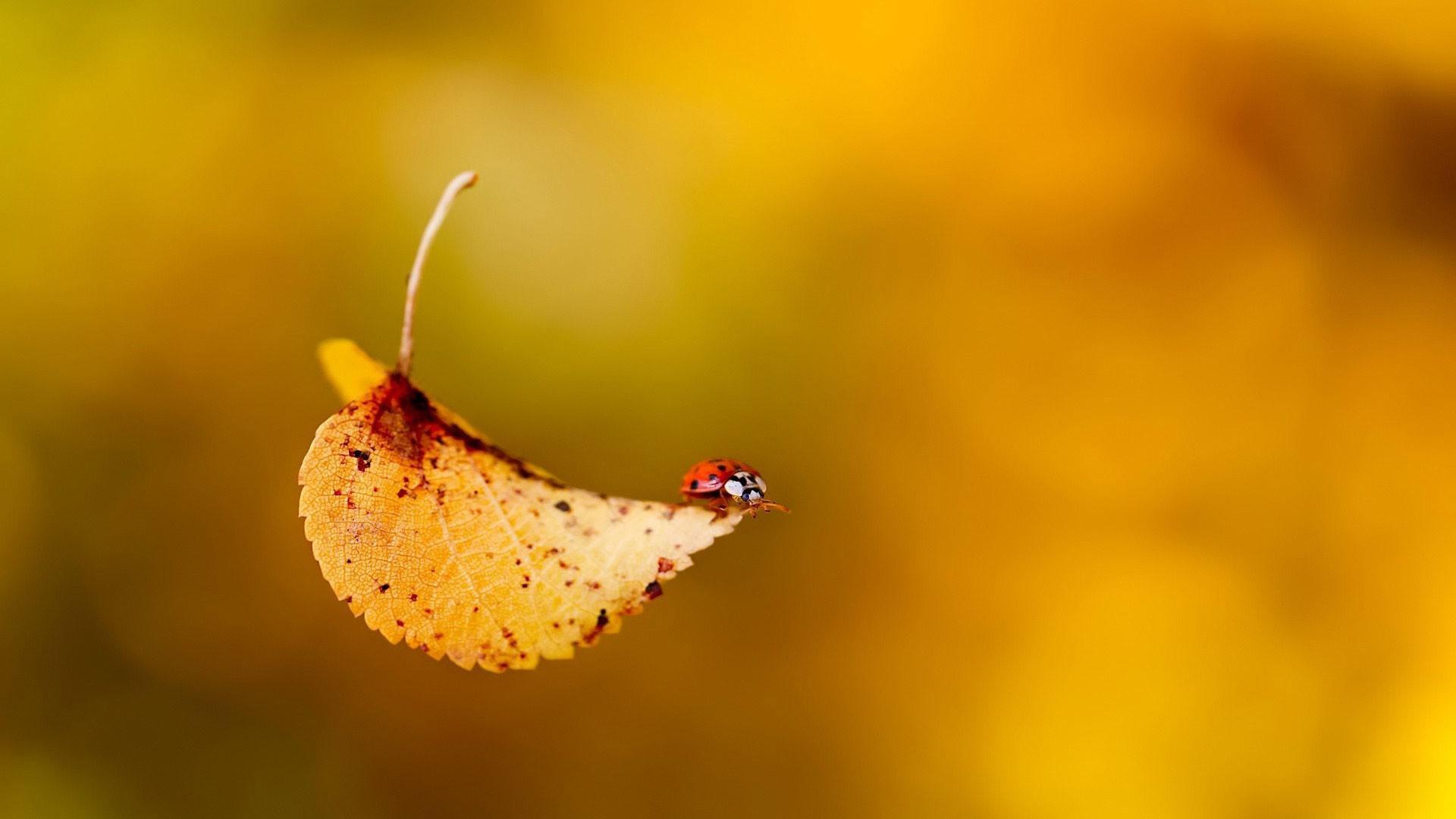 hd pics photos yellow lady bugs leaves macro desktop background wallpaper