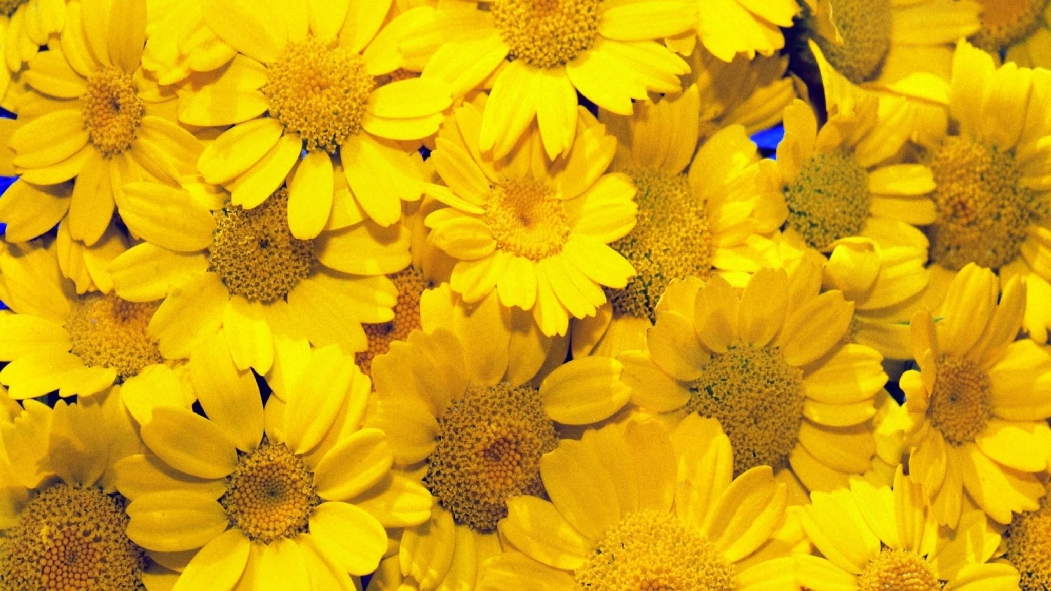 Wallpaper coleostephus, yellow, background, garden