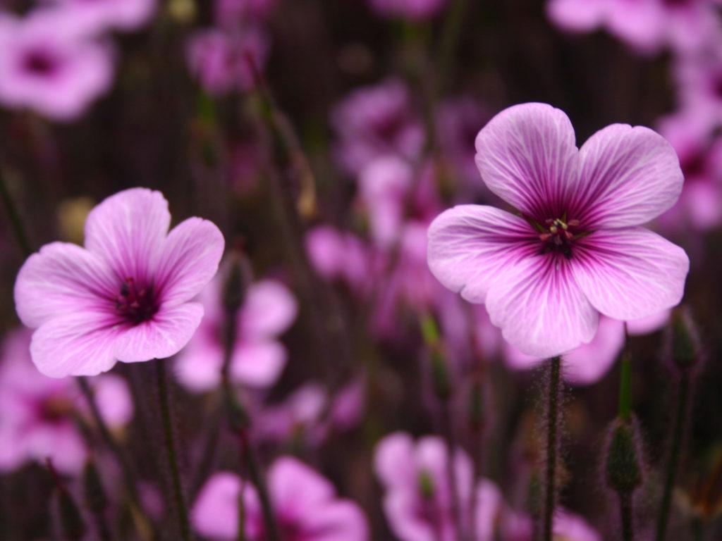 HD Flower Wallpaper Free: Purple Flowers Wallpaper