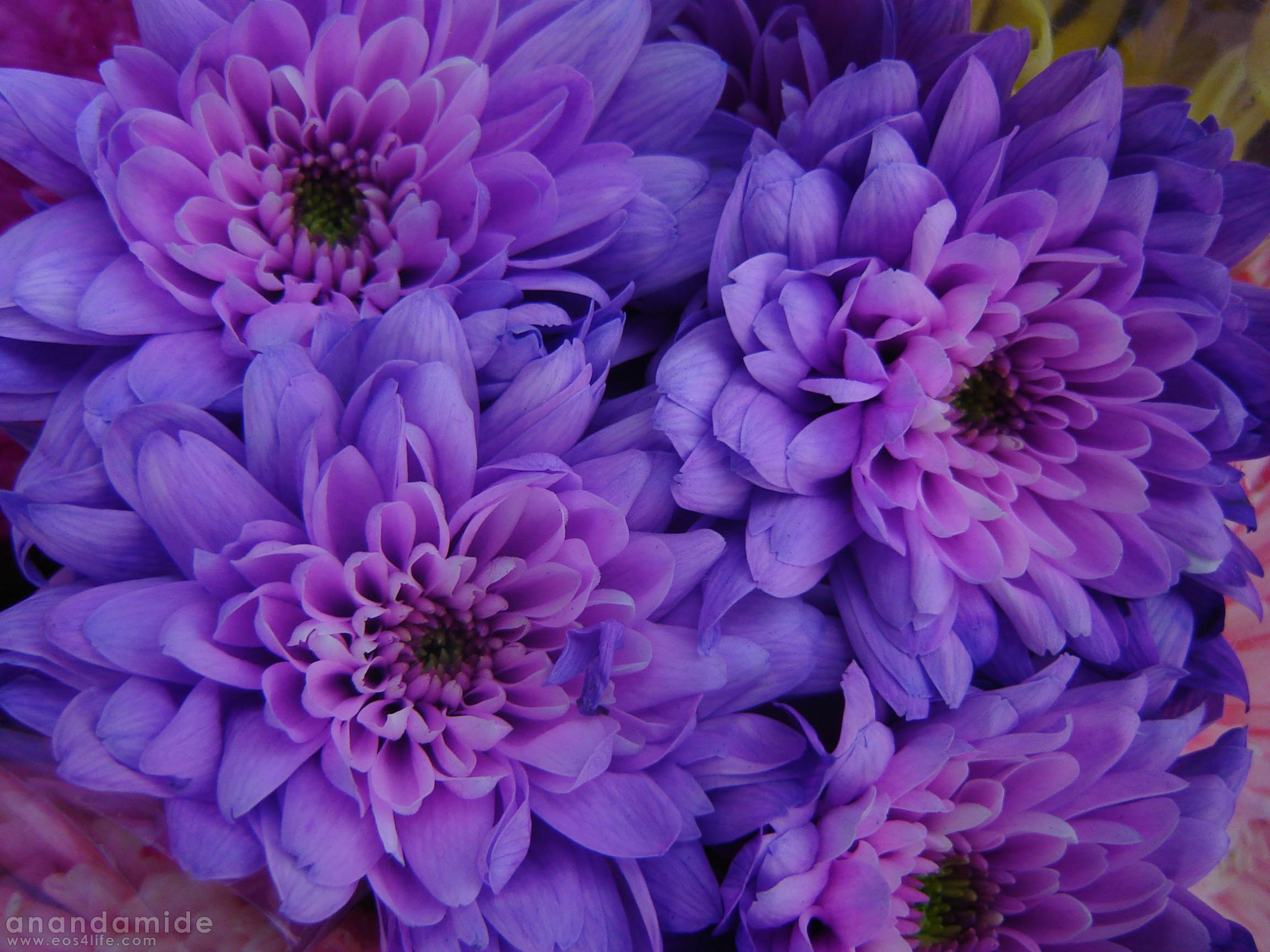 Look through our seasonal flower guide for summer Our blue or purple flower  bulbs are displayed
