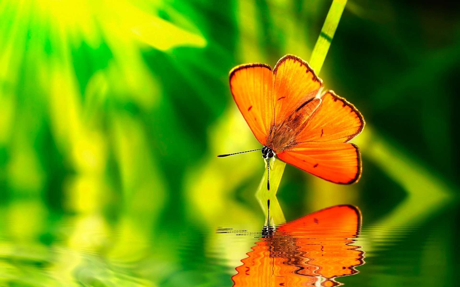 Green water nature orange insects wildlife reflections blurred background  butterflies wallpaper | | 294097 | WallpaperUP