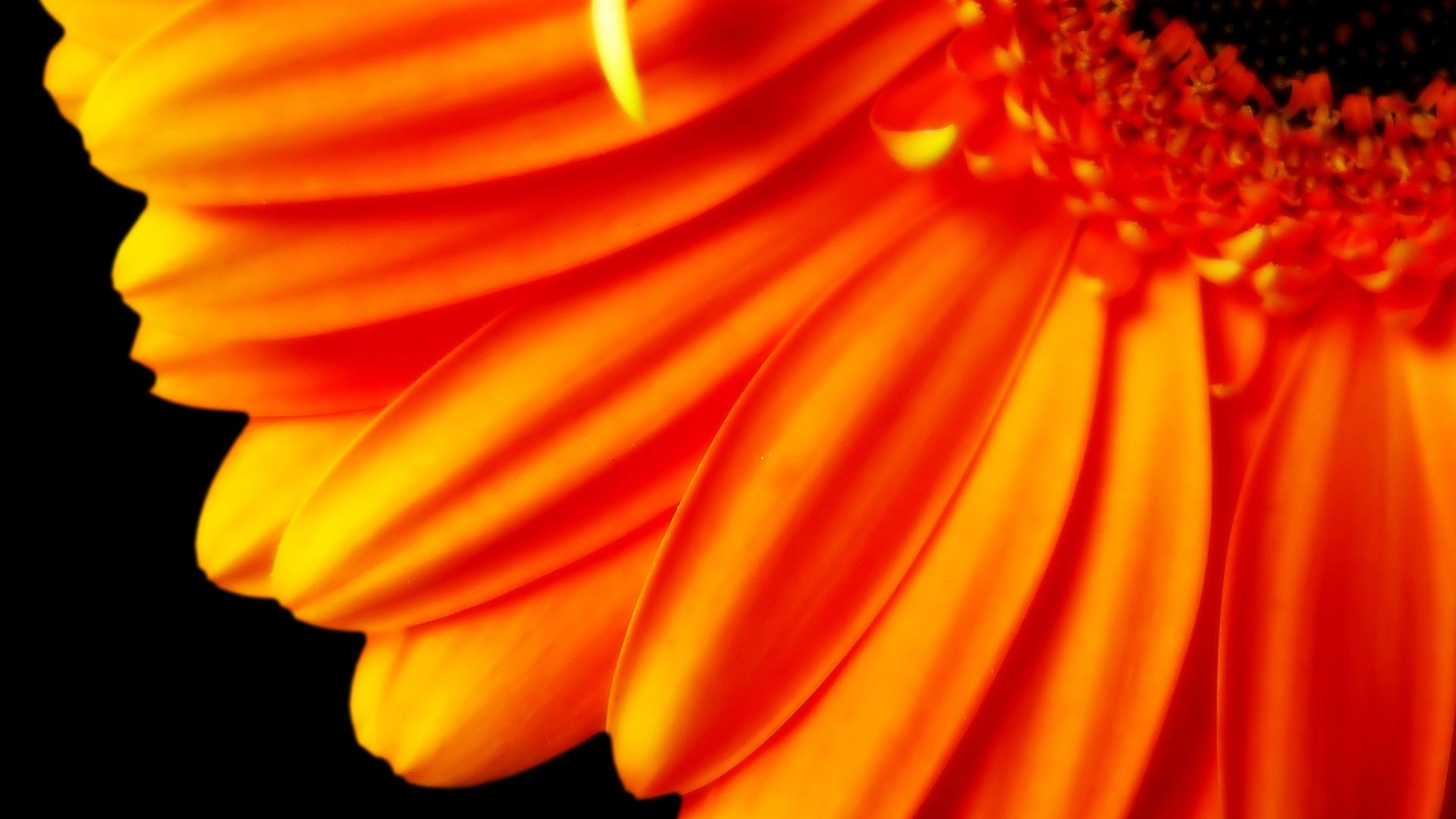 Pure Orange Flower 1080p