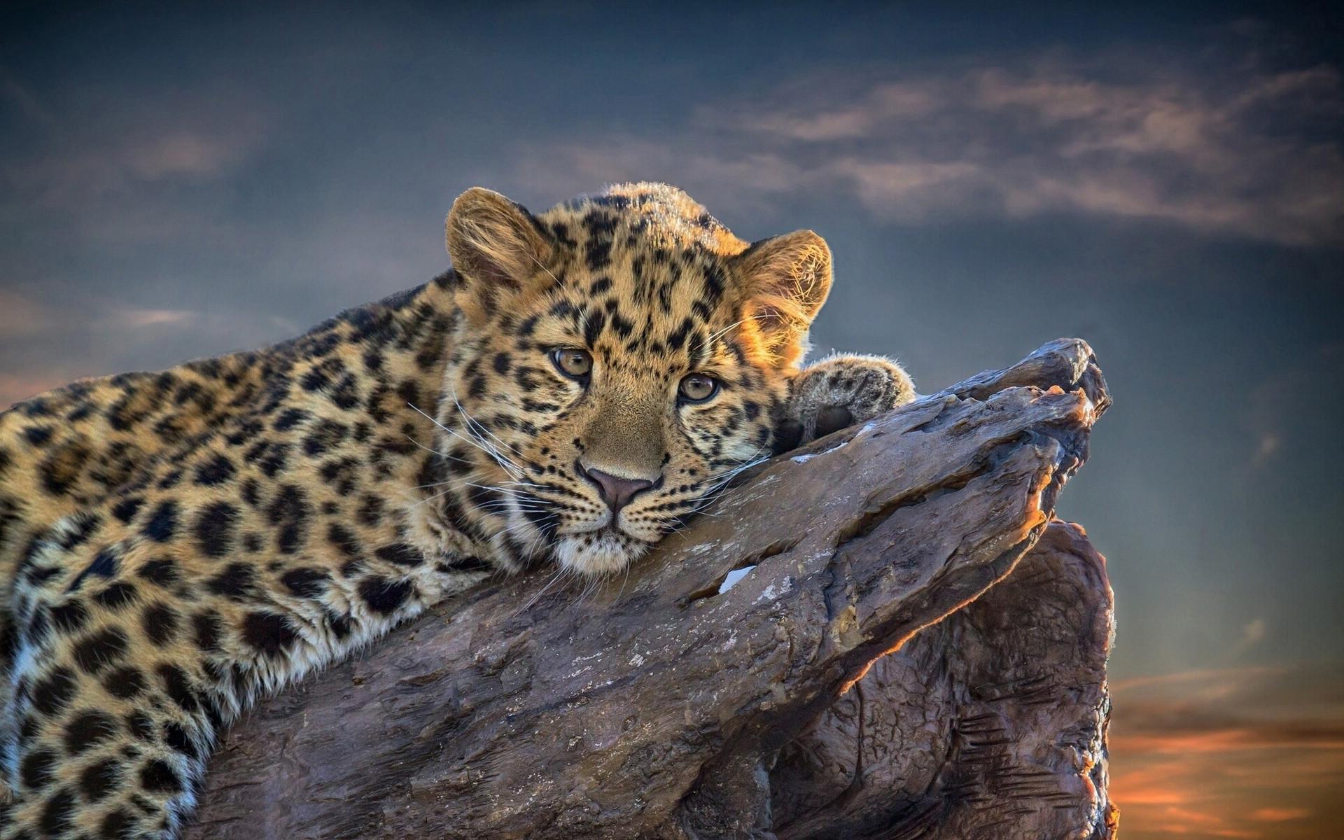 Clouded <b>Leopard Wallpapers</b> – <b>Wallpaper<