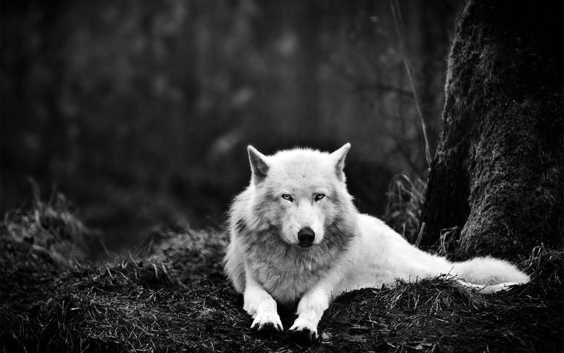 Ghost the Dire Wolf – Game of Thrones wallpaper