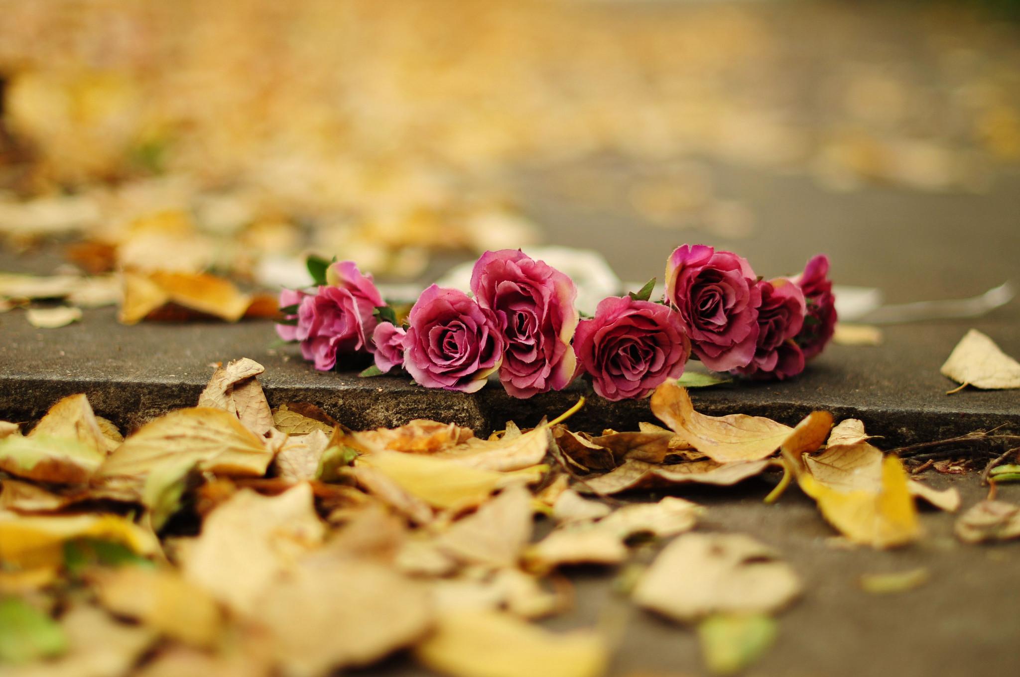 flower rose roses roses leaves yellow earth autumn bokeh wallpaper .
