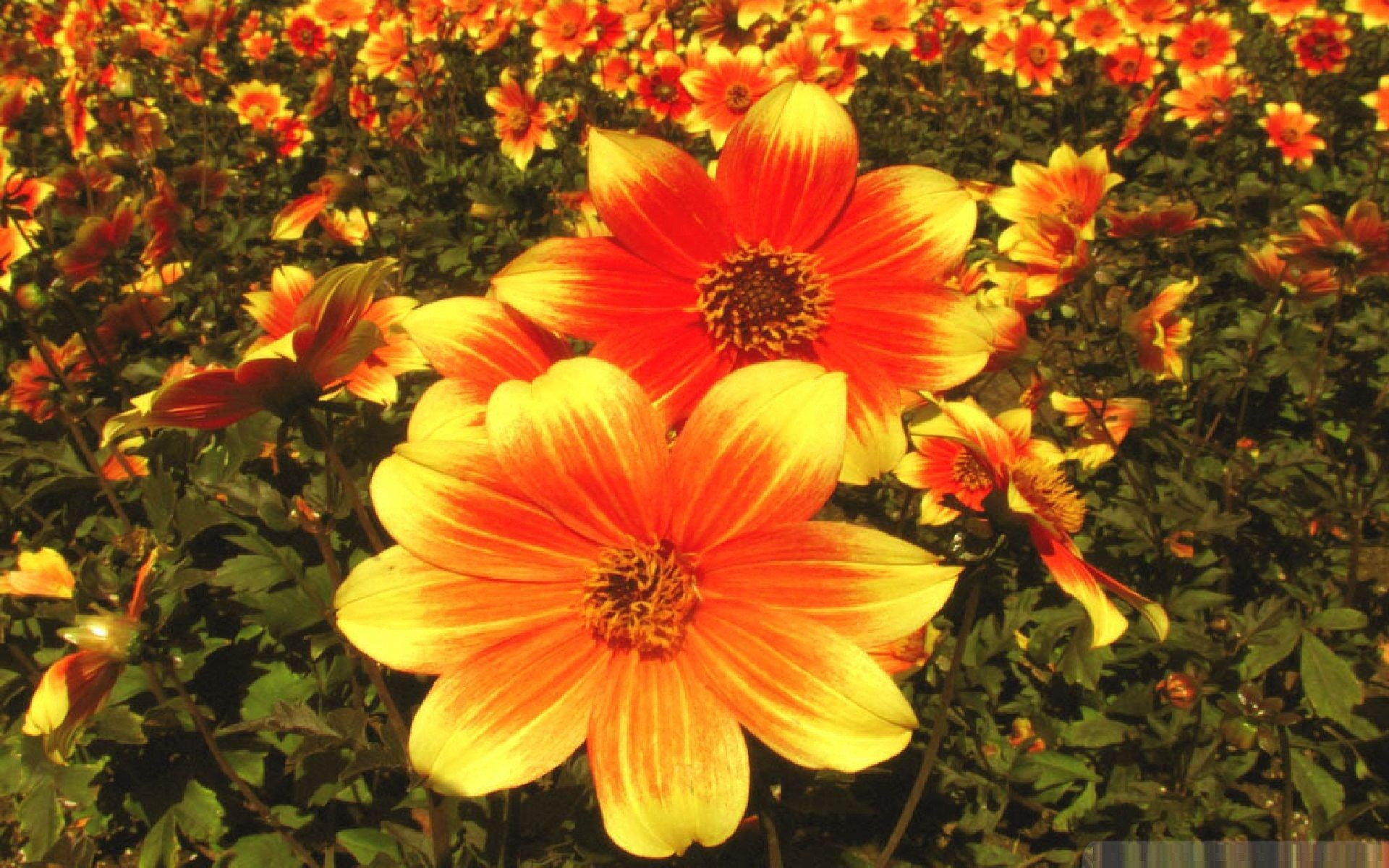 Download Convert View Source. Tagged on : Fall Flowers Wallpaper …