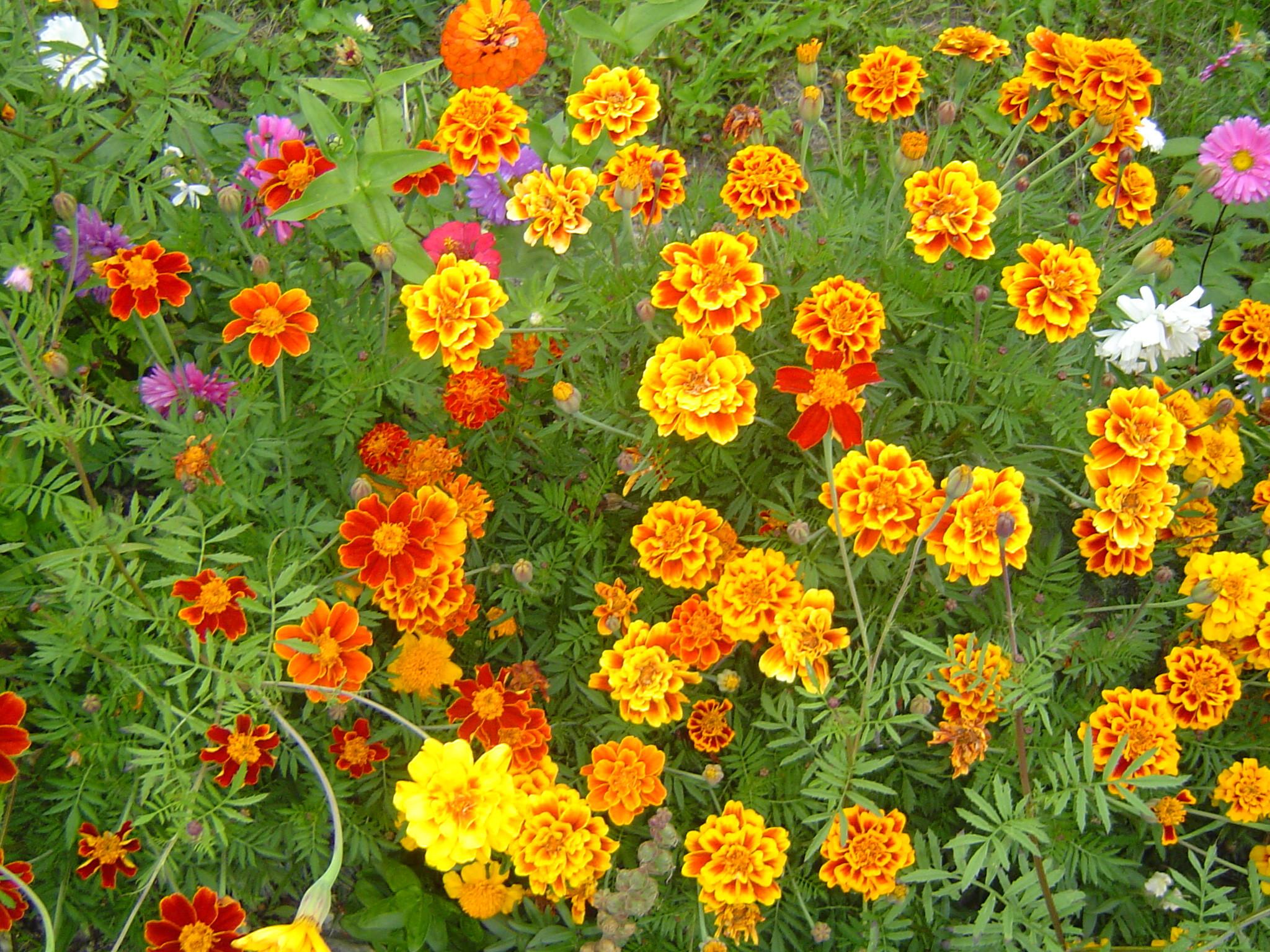 fall flower wallpaper – www.high-definition-wallpaper.com