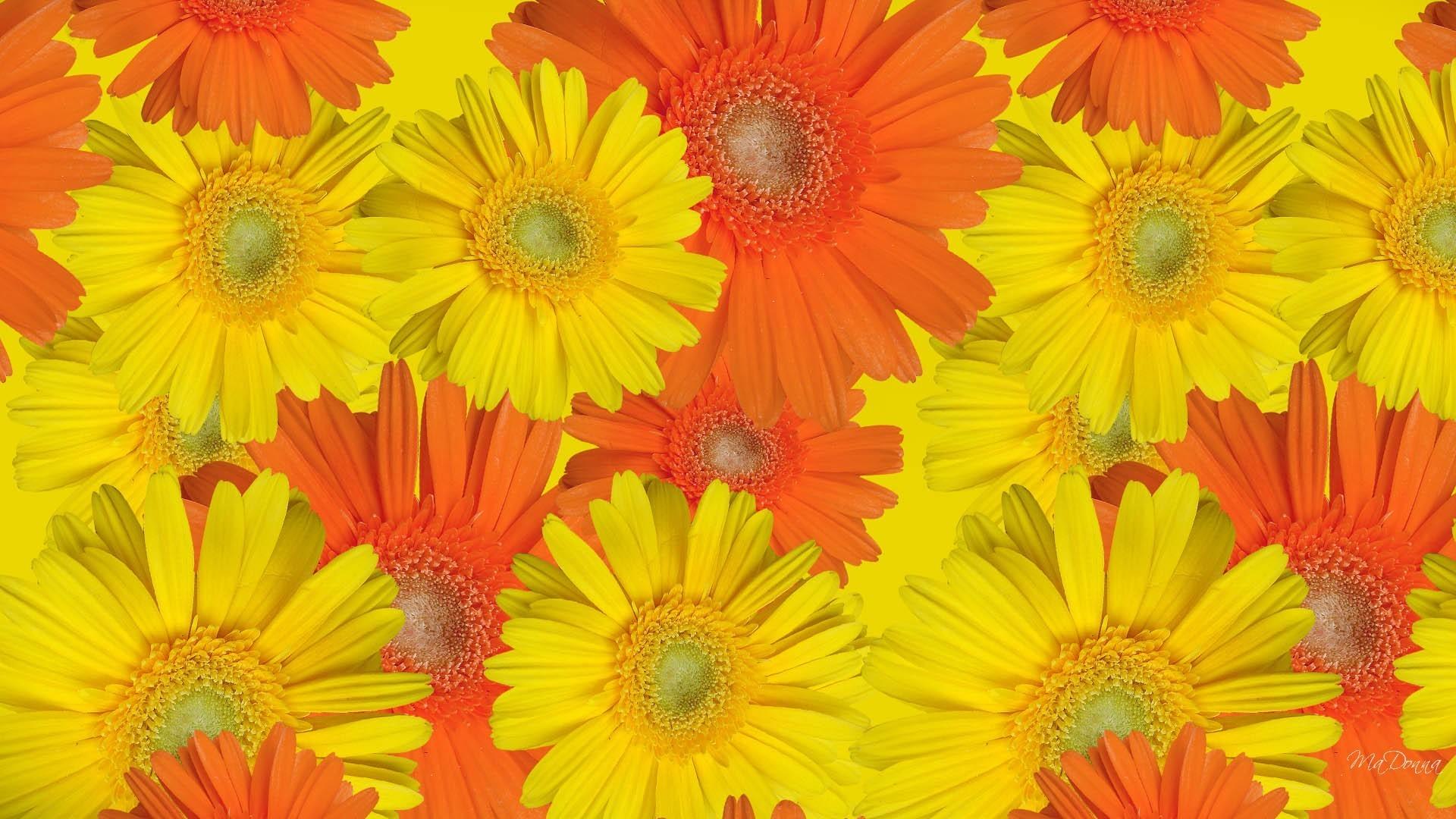 Gerbaras Fall Daisies Autumns Flora Floral Autumn Color Flowers Flower  Wallpaper Portrait Detail