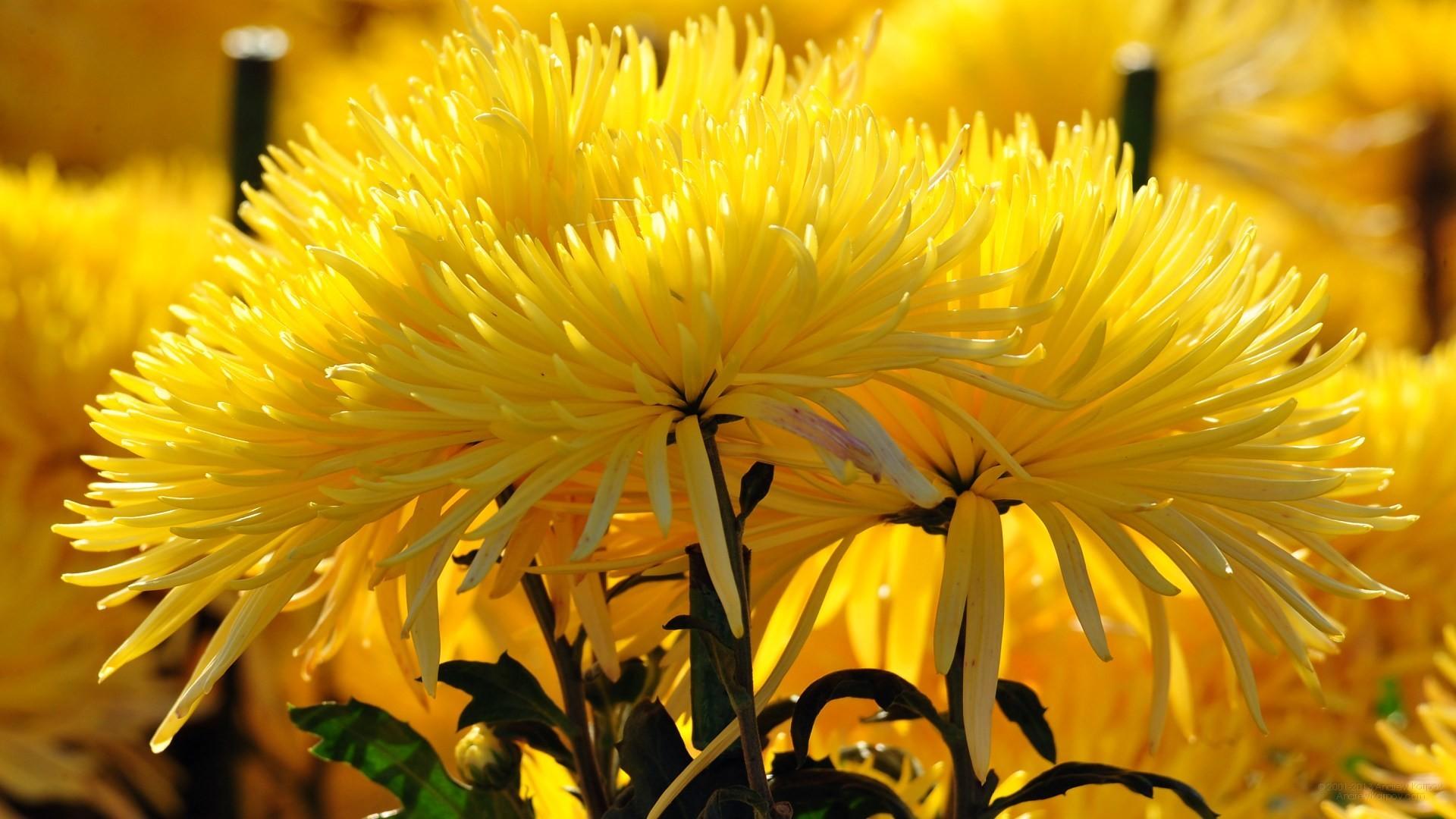 image-wallpaper-1920-1080-Beautiful-Flowers-Chrysanthemum-Flowers .