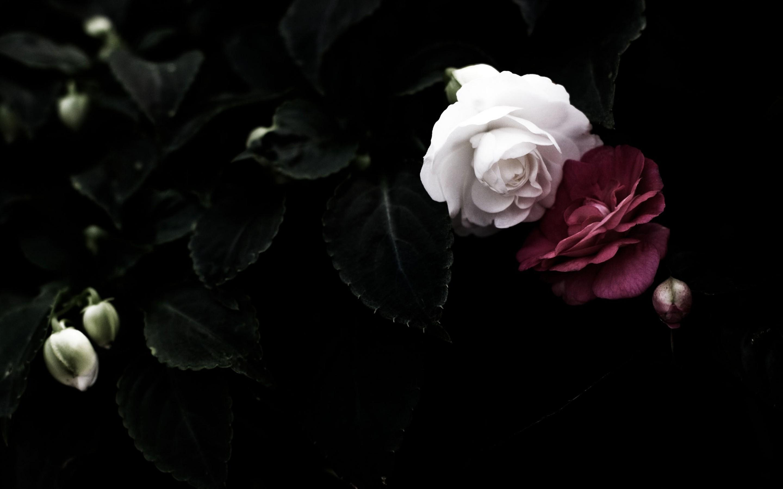 Black Rose Wallpaper Hd