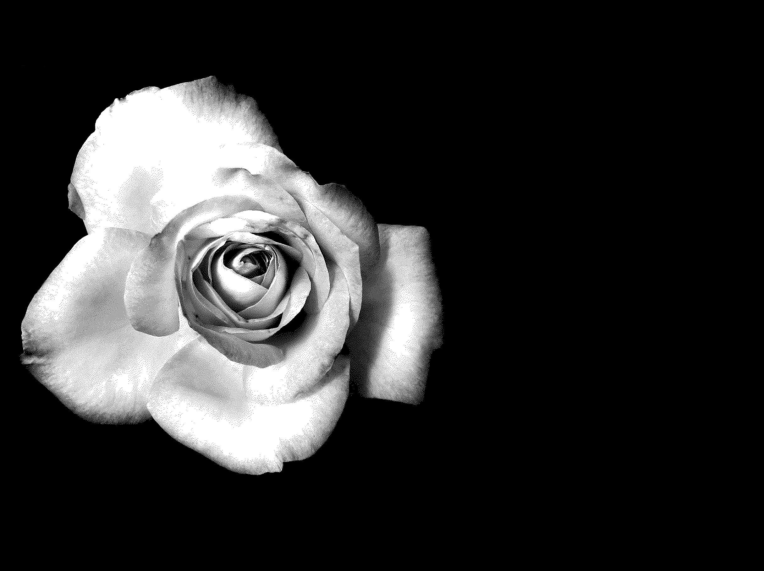 black and white rose Desktop wallpapers