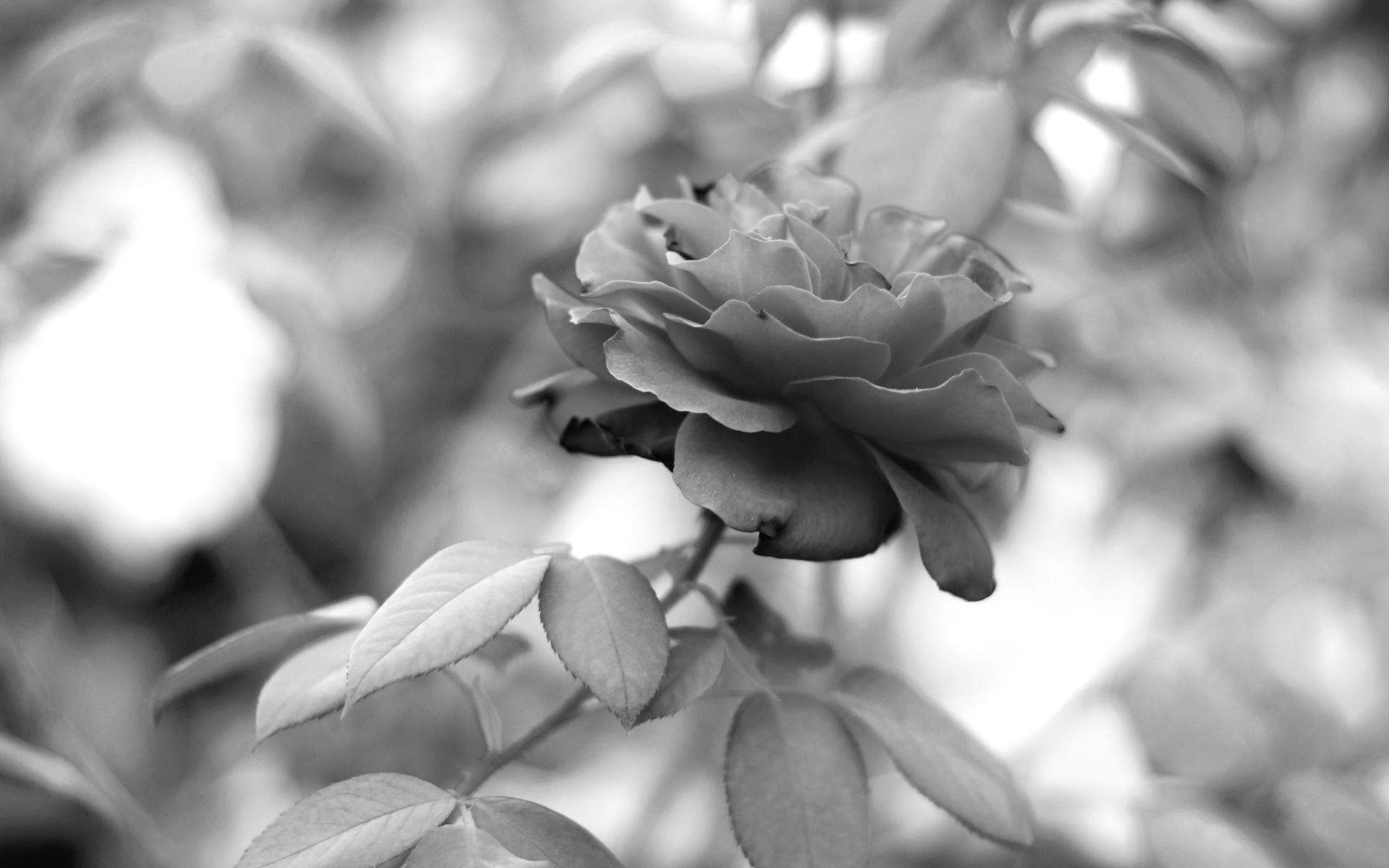 Black And White Rose Wallpaper 24 Background Wallpaper
