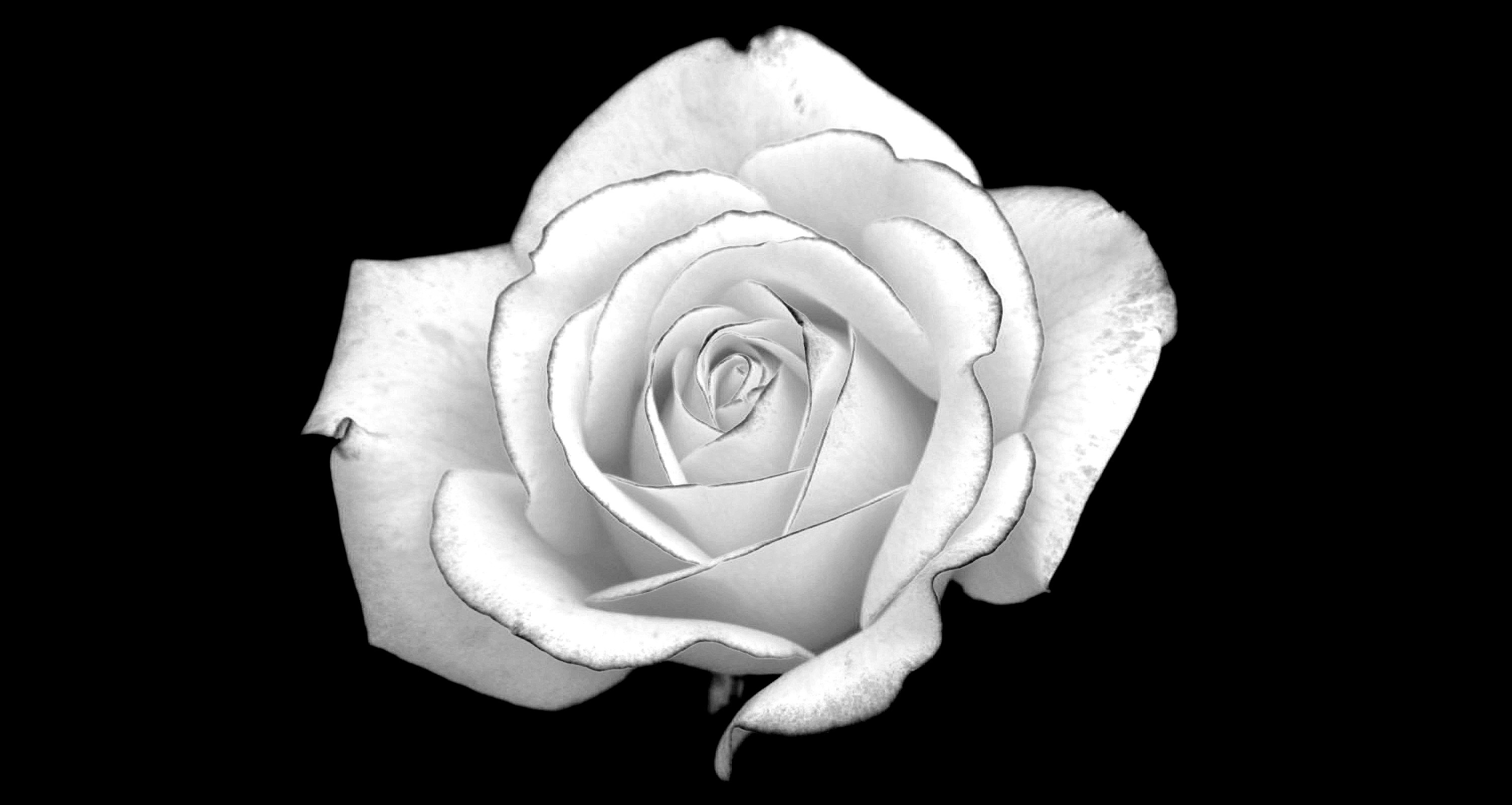 White Roses Black Background (35 Wallpapers)