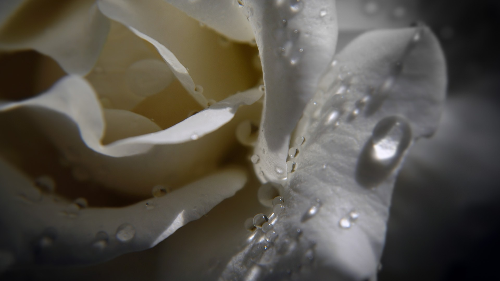 dew-drops-on-beautiful-white-rose-with-black-