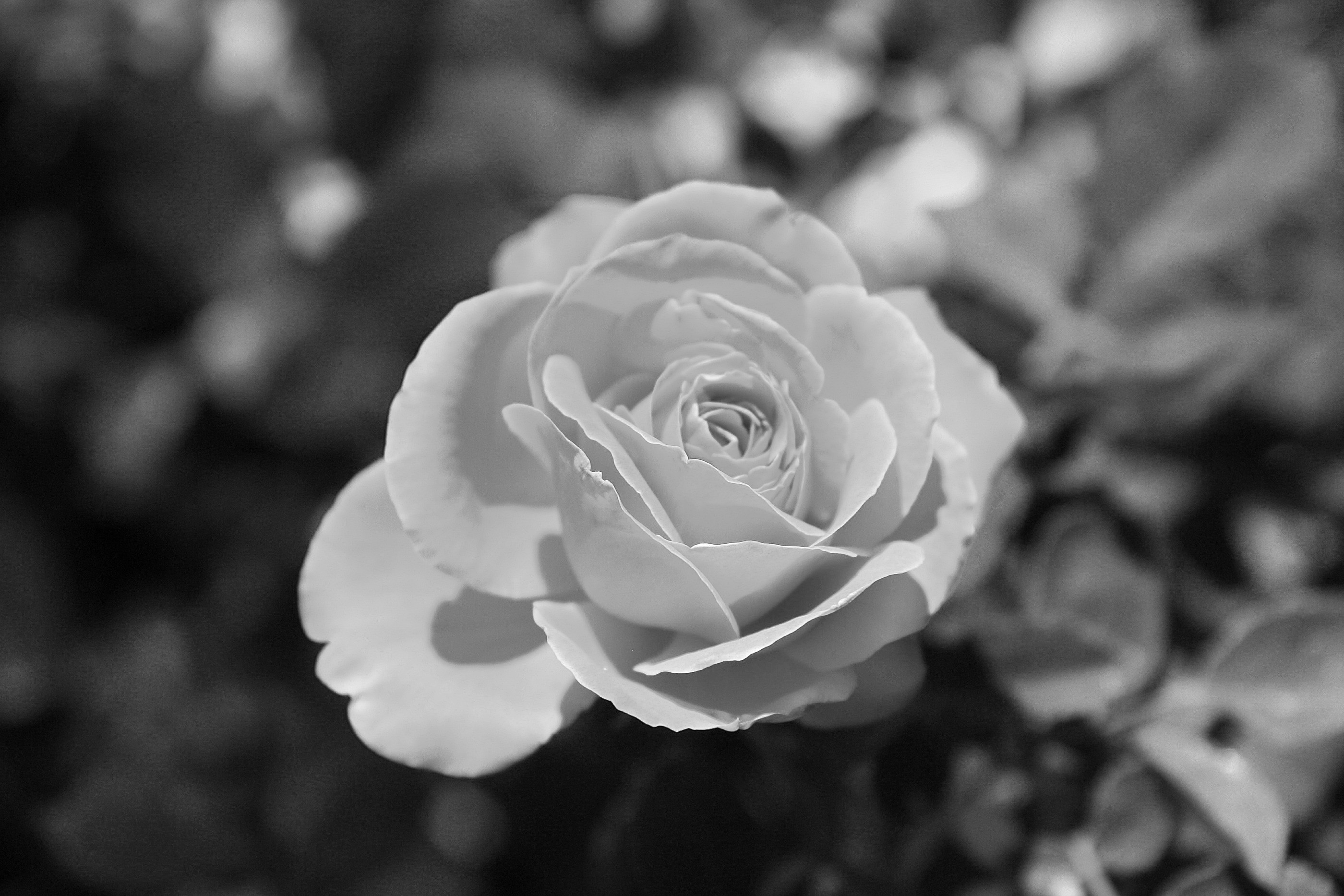 Black And White Rose Wallpaper 2 Free Wallpaper