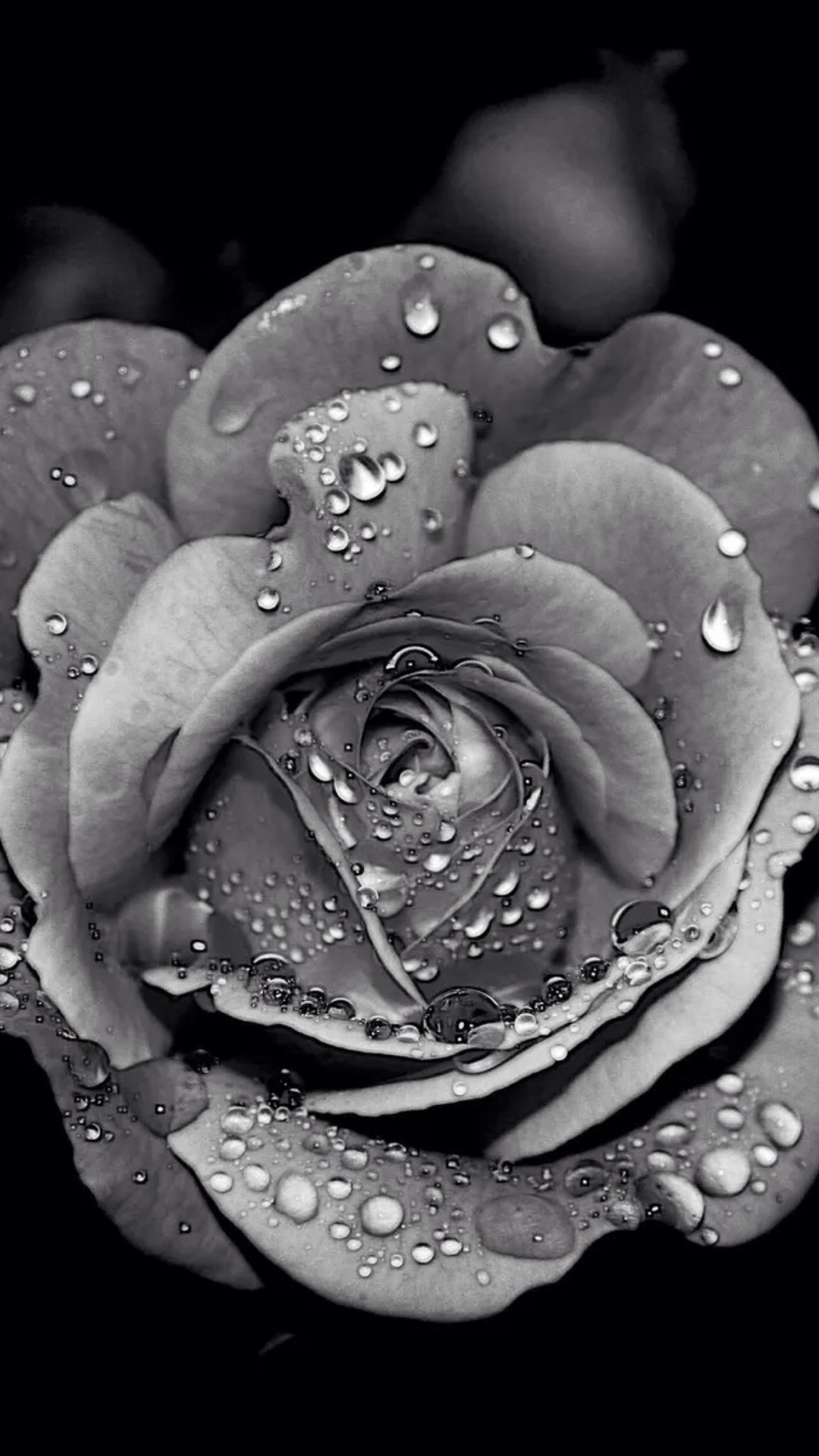 Black And White Rose Iphone Wallpaper