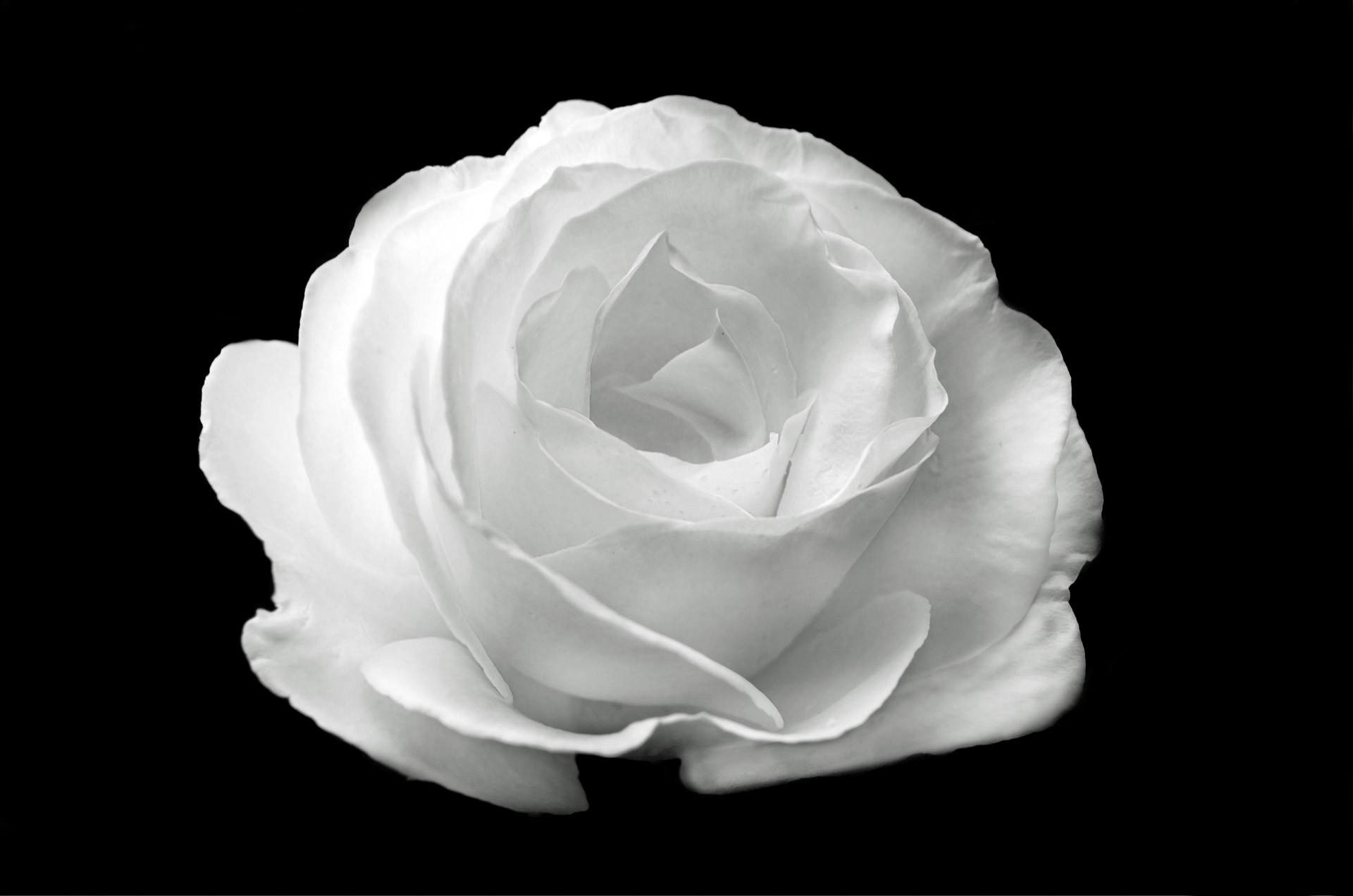 … white rose wallpapers images photos pictures backgrounds …