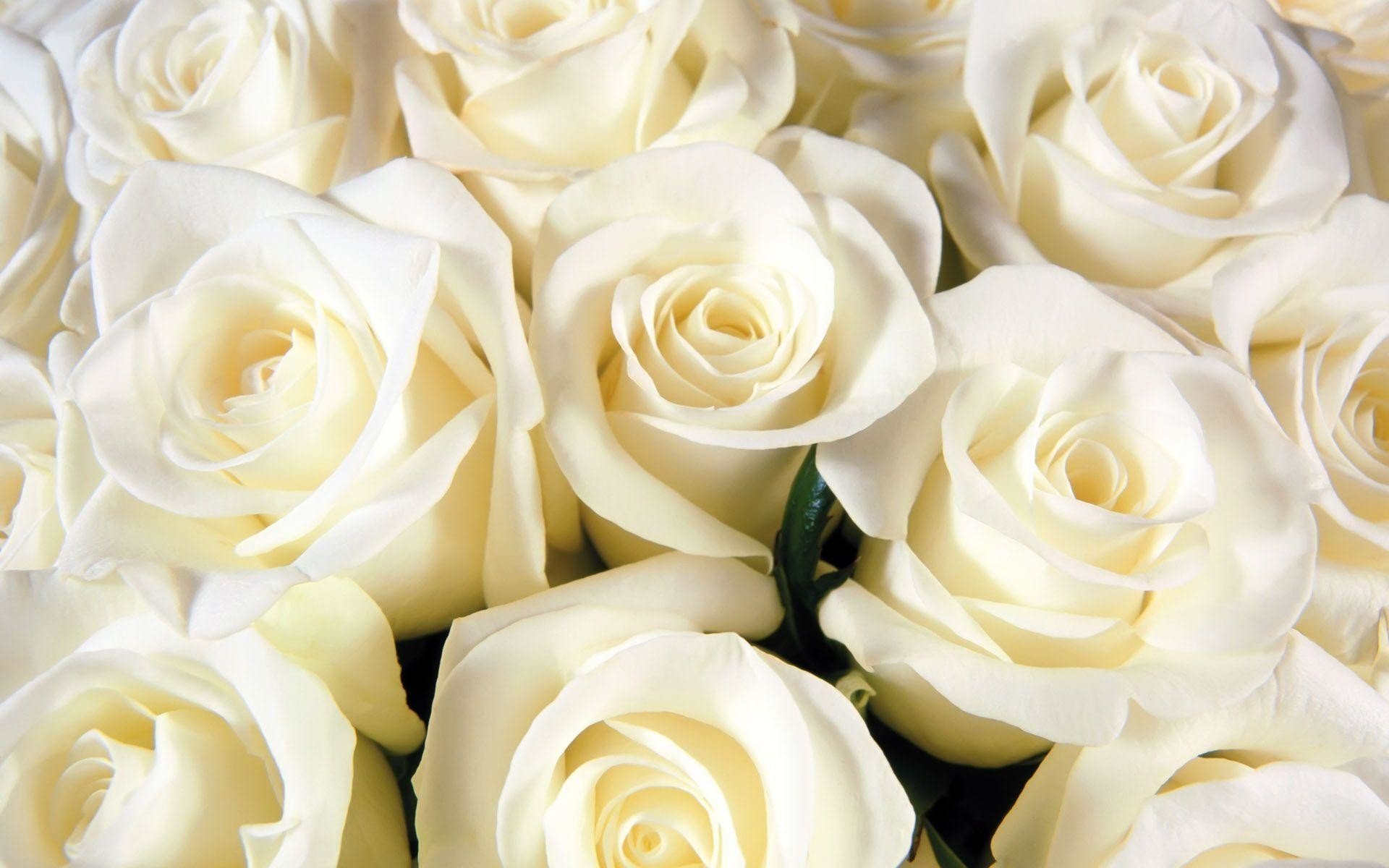 amazing flower white roses background hd wallpapers – Wallumi