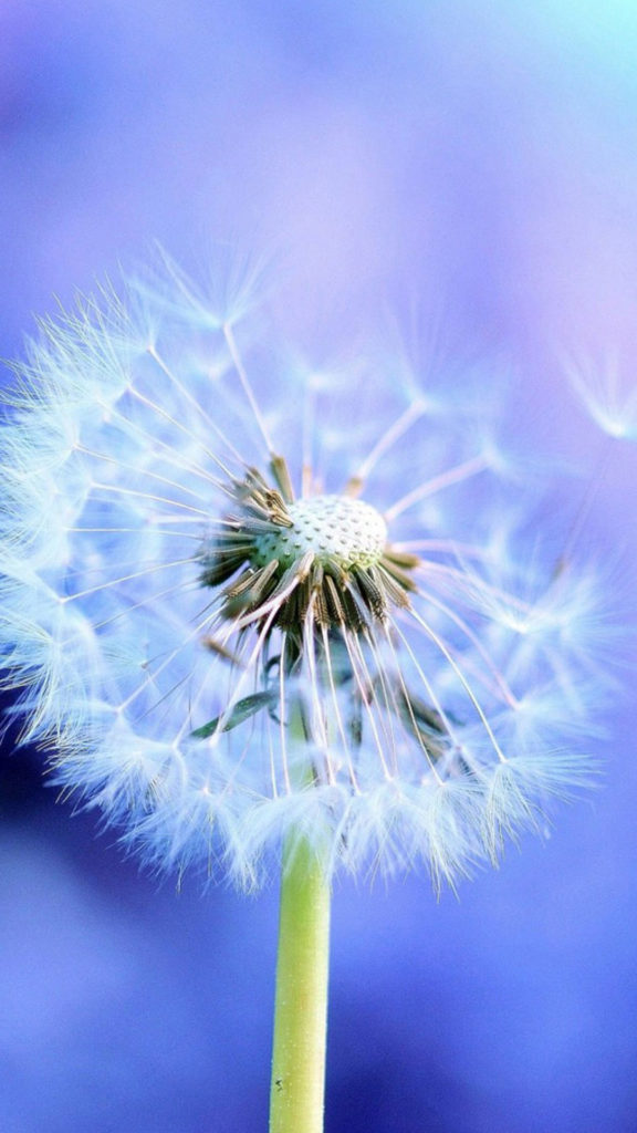 Pure Blowing Dandelion Blue Background iPhone 8 wallpaper