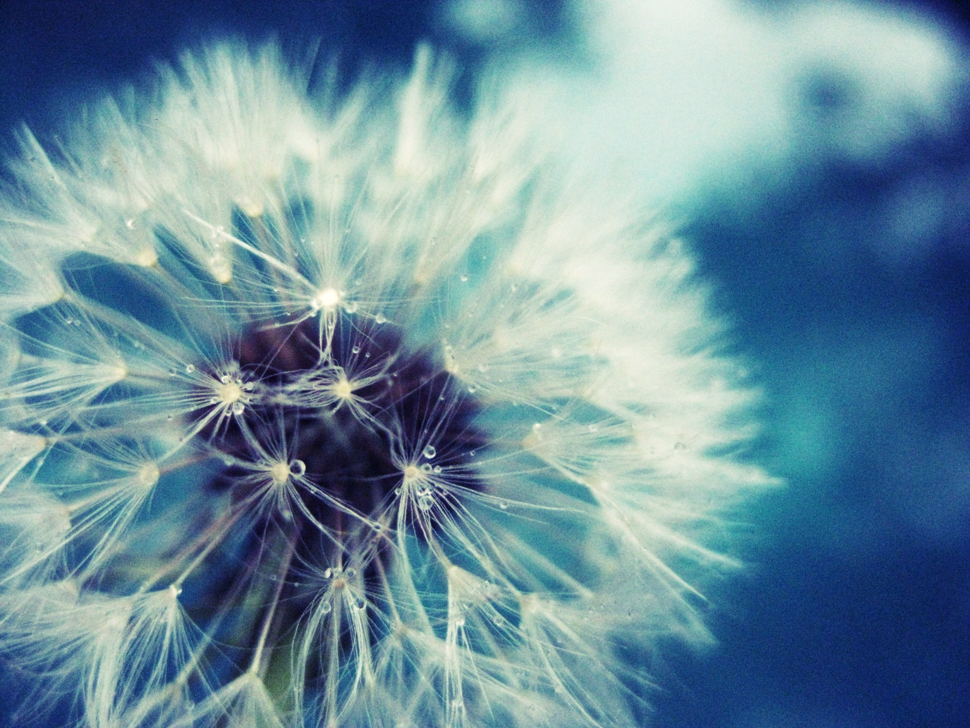 Dandelion Fan Full – HD Wallpaper