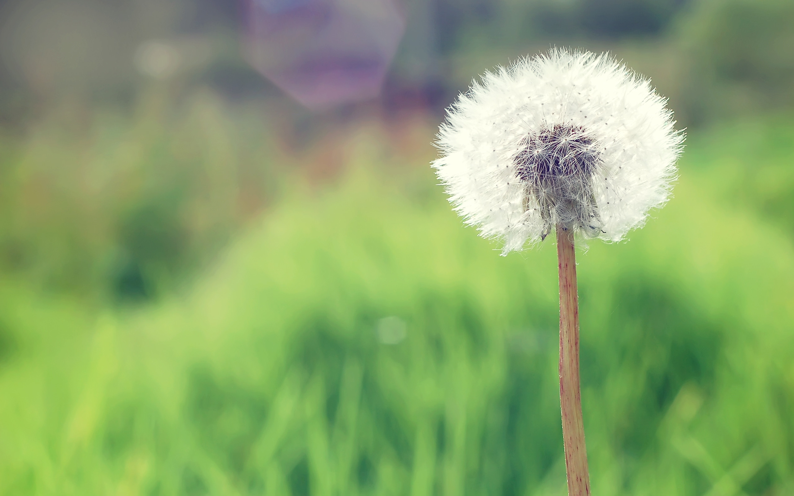 HD Dandelion Wallpaper | HD Wallpapers | Pinterest | Hd wallpaper,  Dandelions and Wallpaper