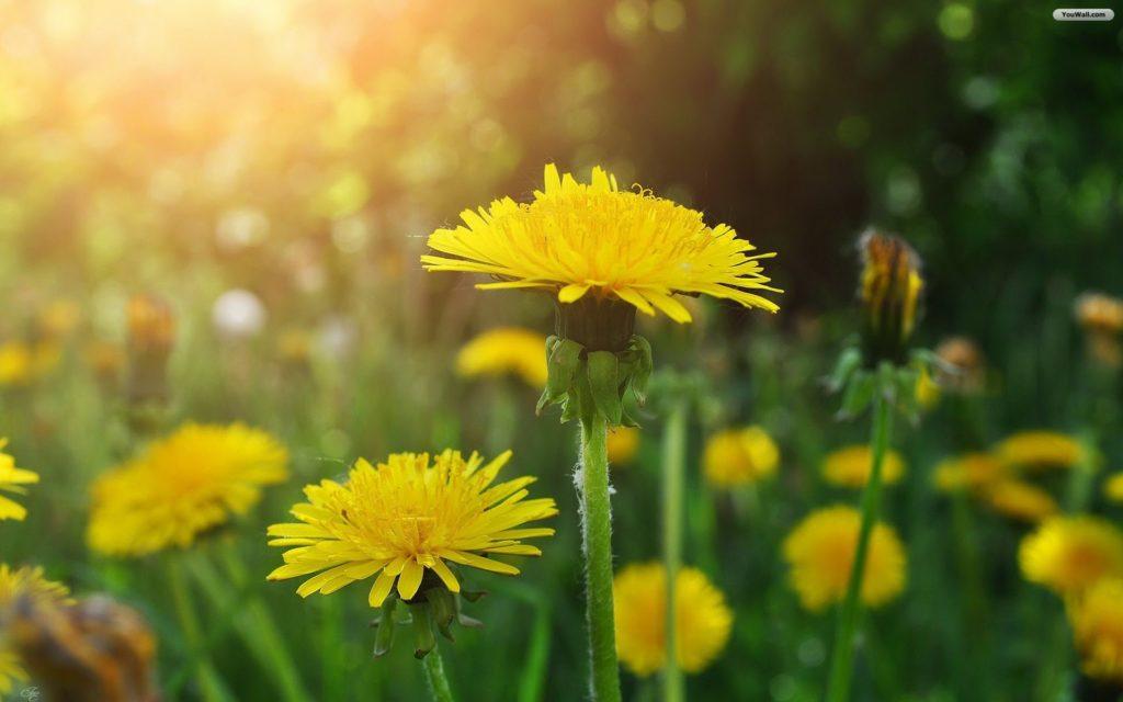 Yellow Dandelion Drawing