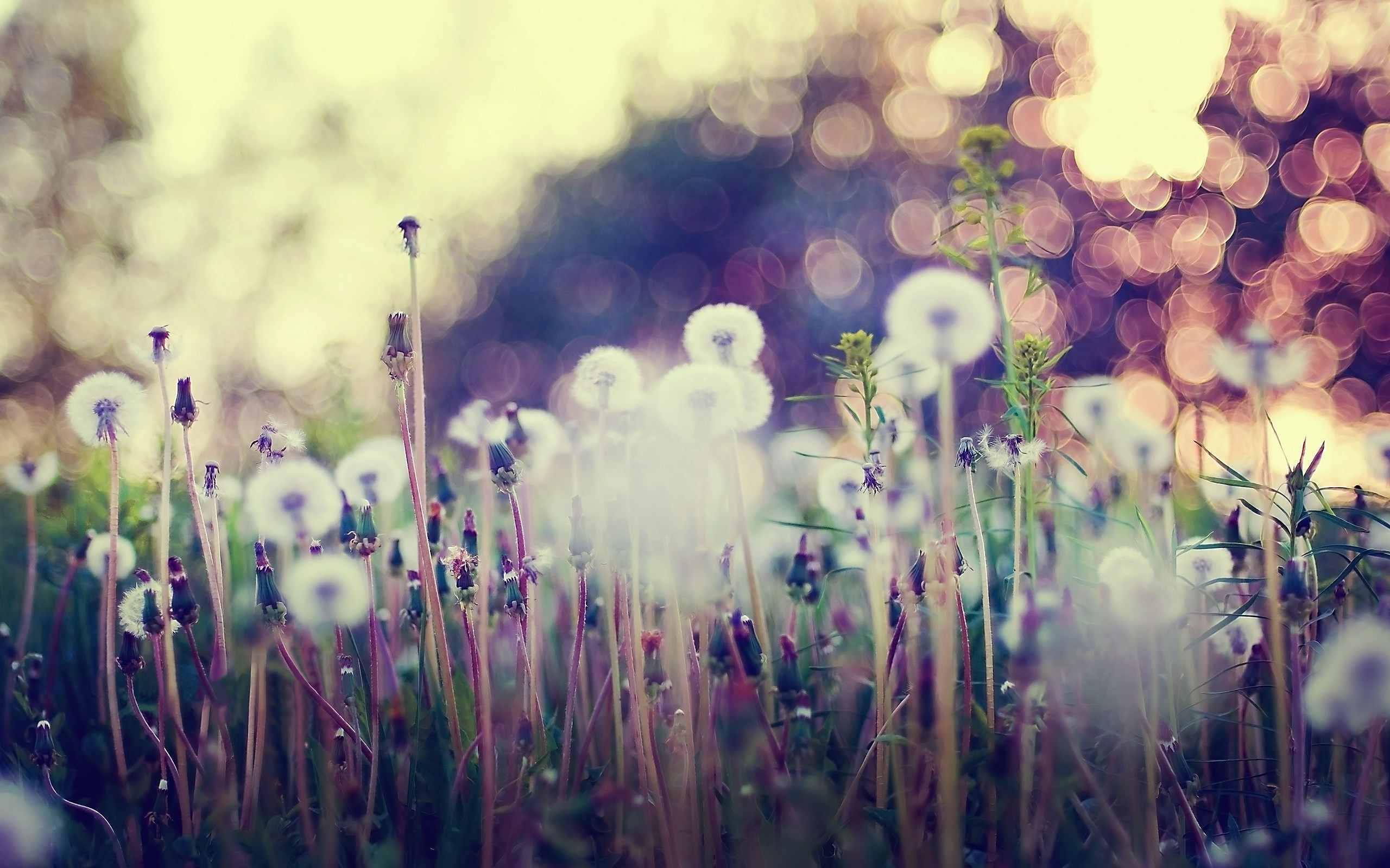 MACRO wallpaper | macro-dandelions-grass-flowers-nature-hd-wallpaper