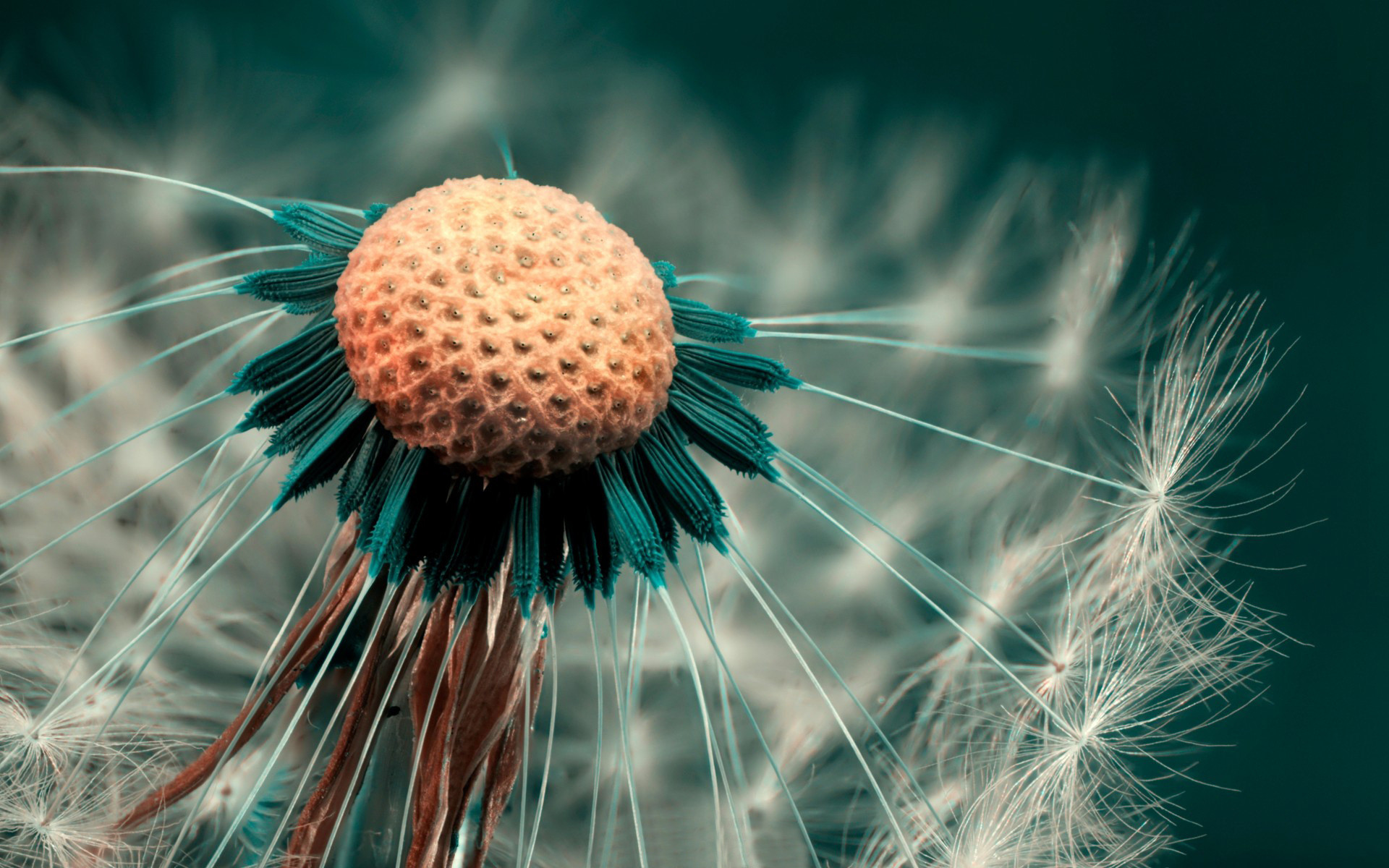 Dandelion HD Wallpaper 1920×1080 Dandelion HD Wallpaper 1920×1200