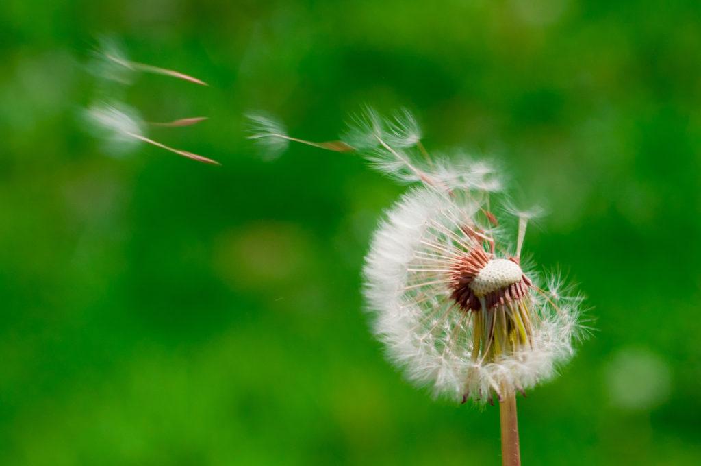 Dandelions blowing in the wind wallpaper – photo#16