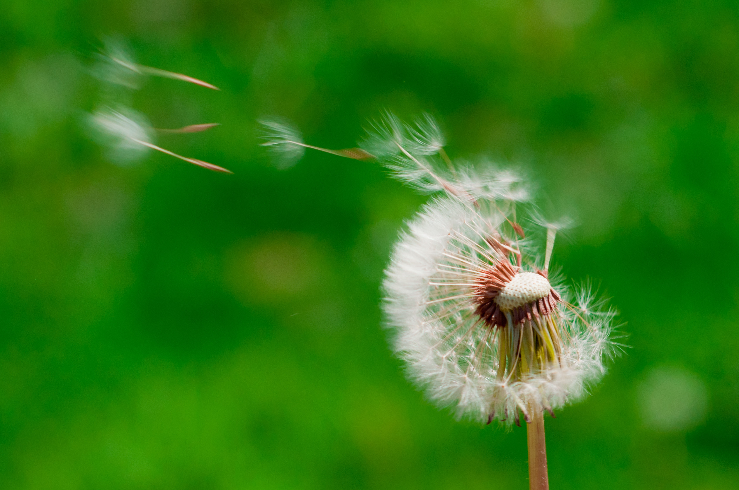 Dandelions blowing in the wind wallpaper – photo#16