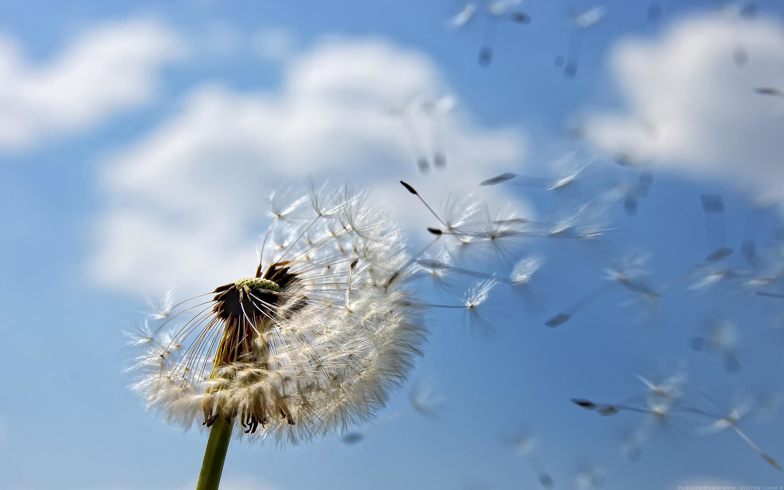 awesome dandelion seeding wallpaper