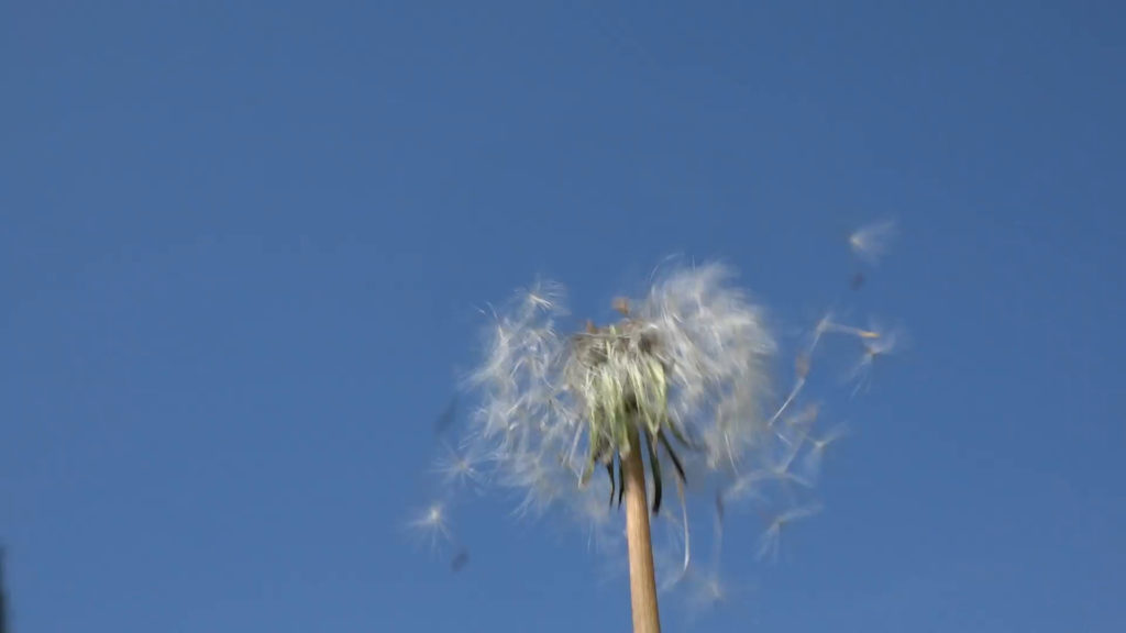 Subscription Library Dandelion heads blow by a gust of wind on a blue sky  background