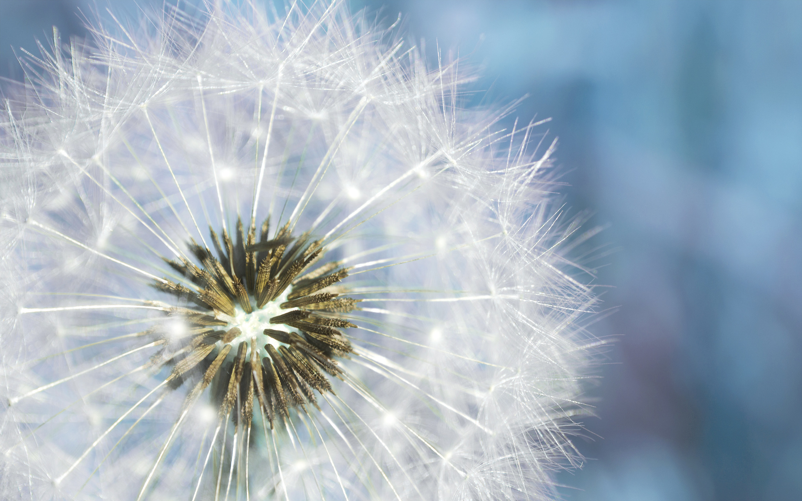 … HD Wallpaper Dandelion …