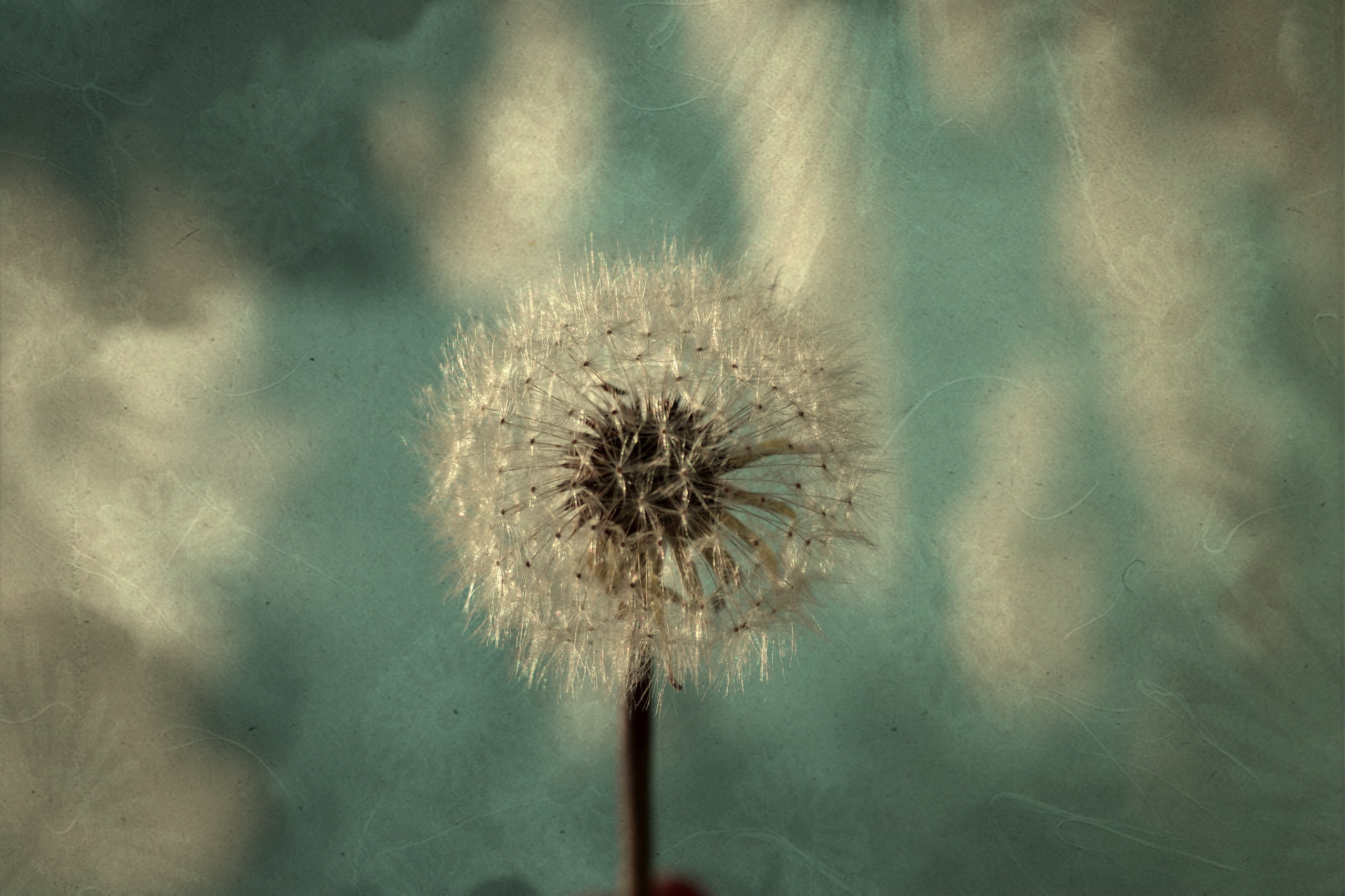 105 best Dandelions for Danielion images on Pinterest | Dandelions,  Dandelion art and Art pictures