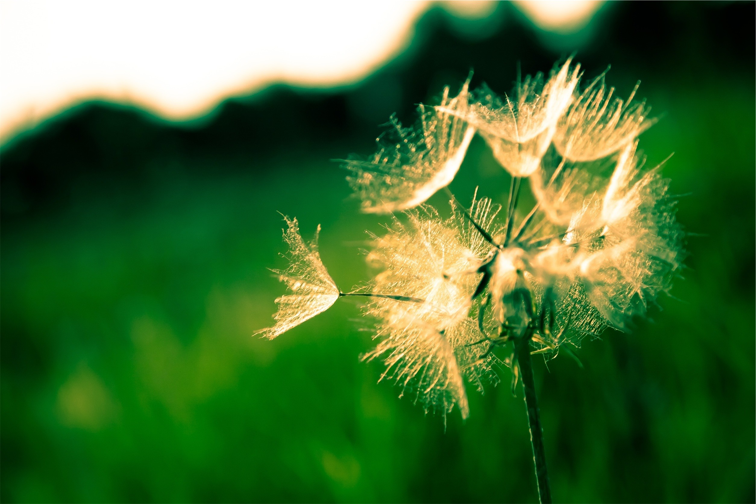 Free Images : tree, nature, grass, branch, blossom, light, white, meadow,  dandelion, sunlight, leaf, flower, summer, sparkler, green, natural,  yellow, …
