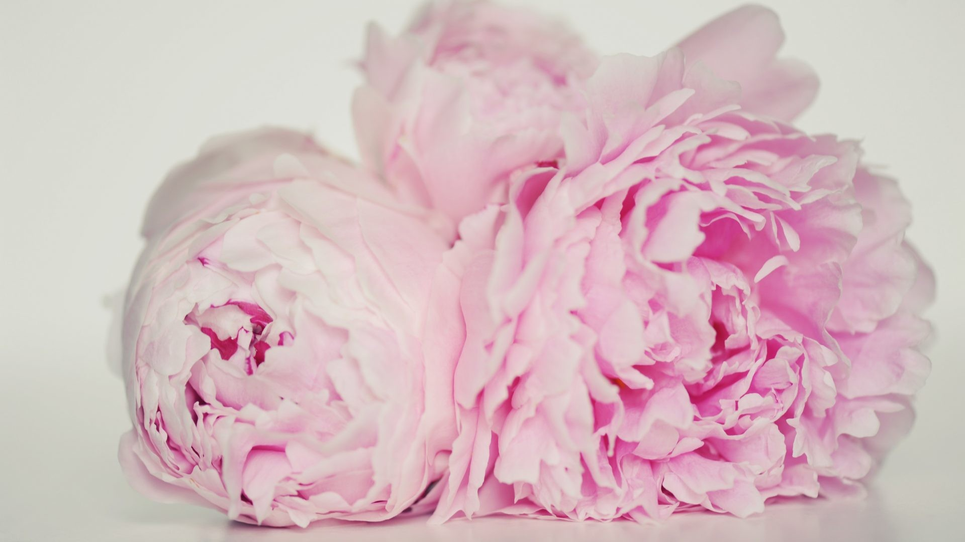 Flowers – Soul Elegance Flowers Forever Pink Peonies Nature Love Innocent  Pastel Graceful Heart Sweet Pretty