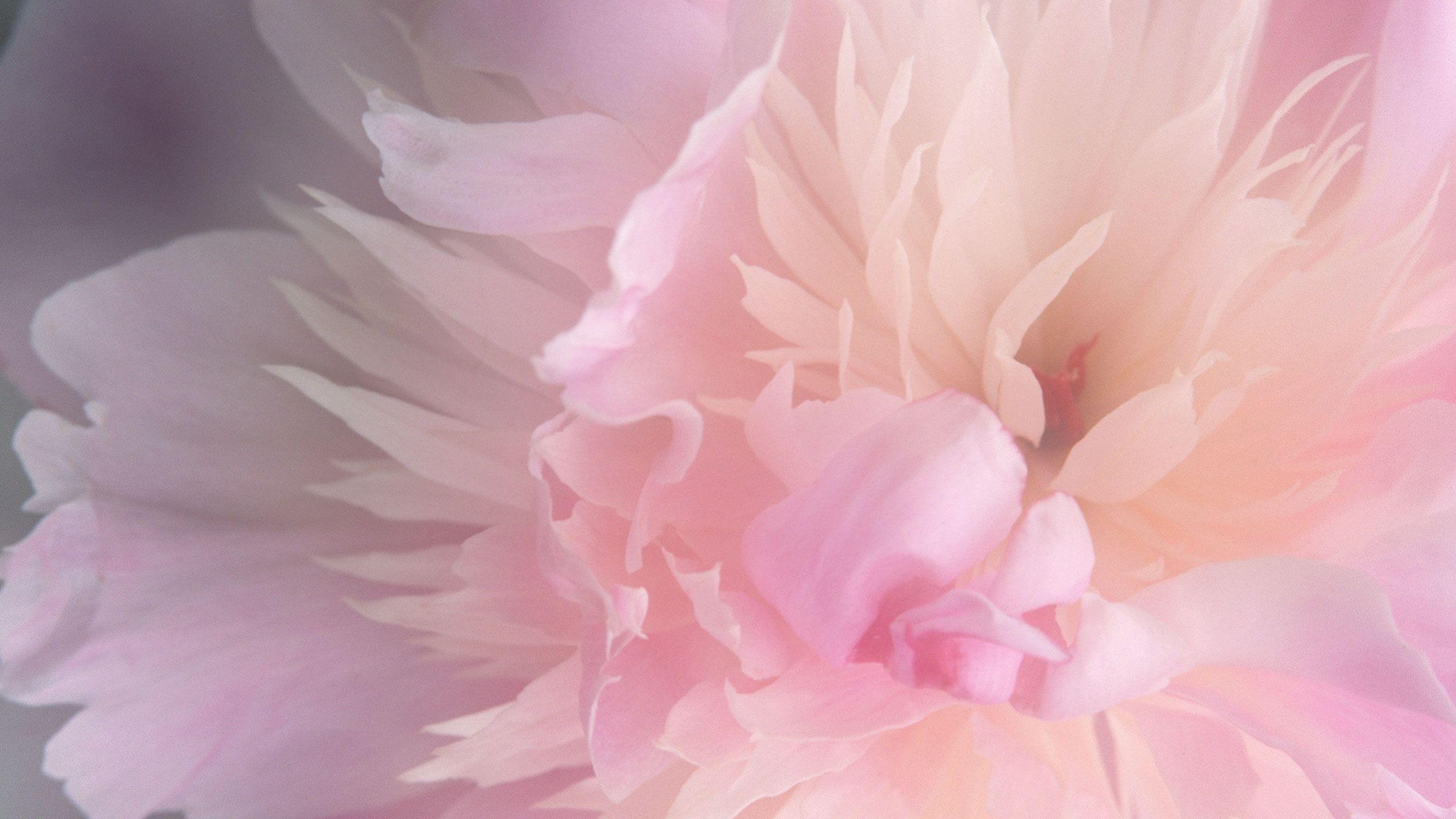 Blush pink peony Wallpaper #3153