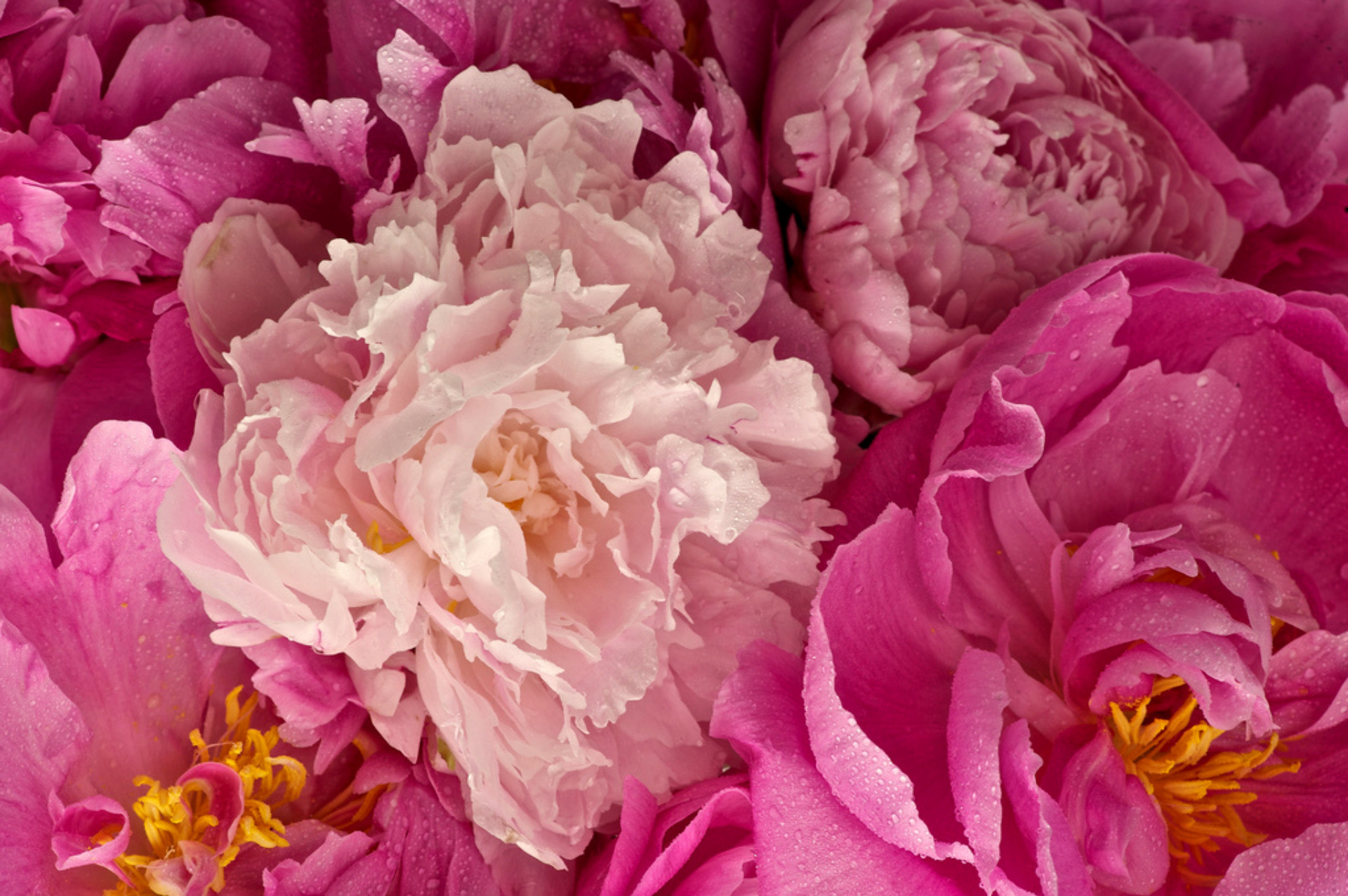 Outstanding Pink Peony Wide Wallpaper