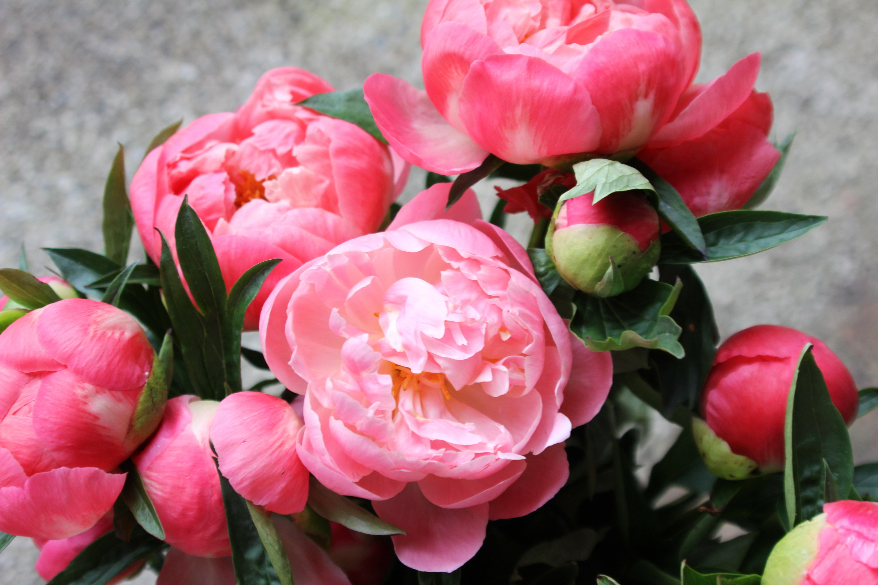 Bright beautiful flowers peonies