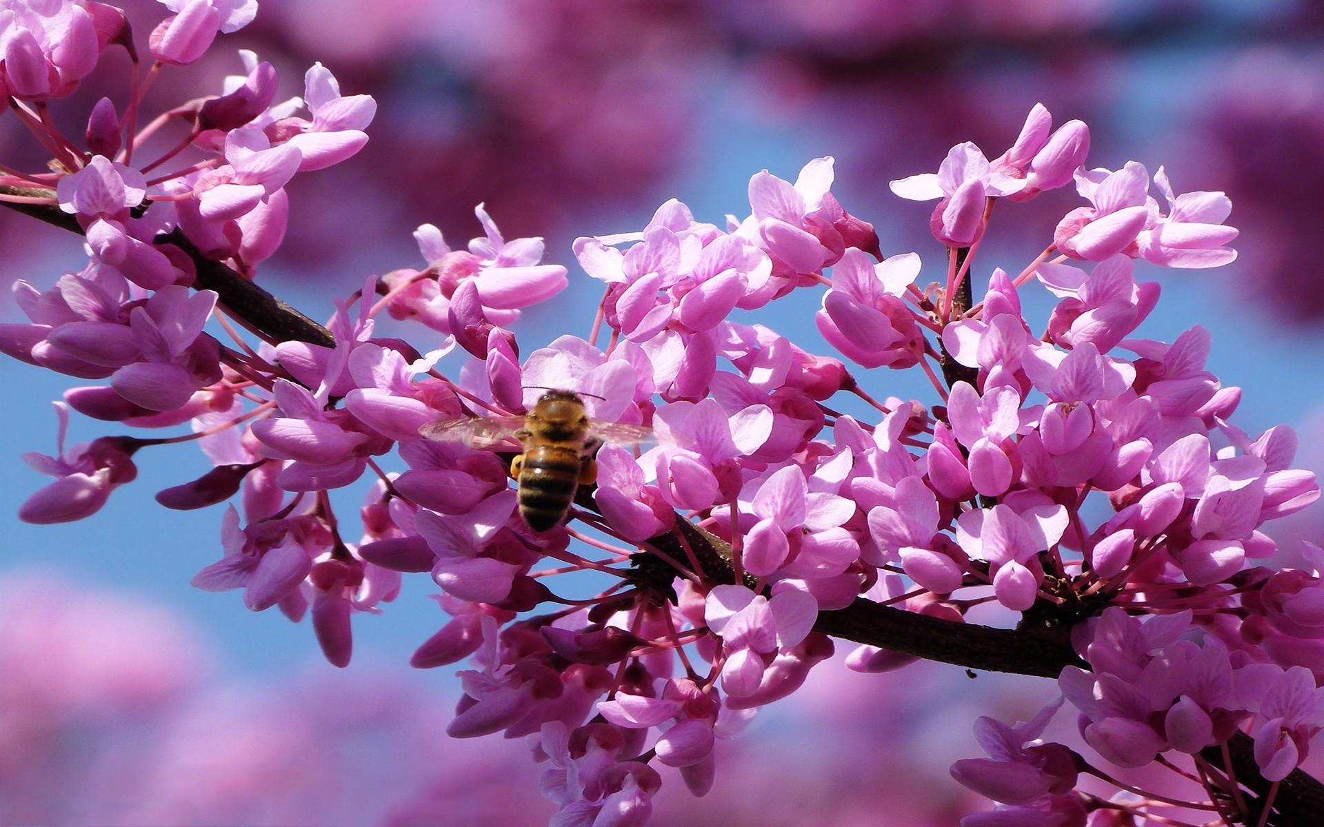 … Pink Blossom Spring Wallpaper Wallpapers Mrwallpaper.