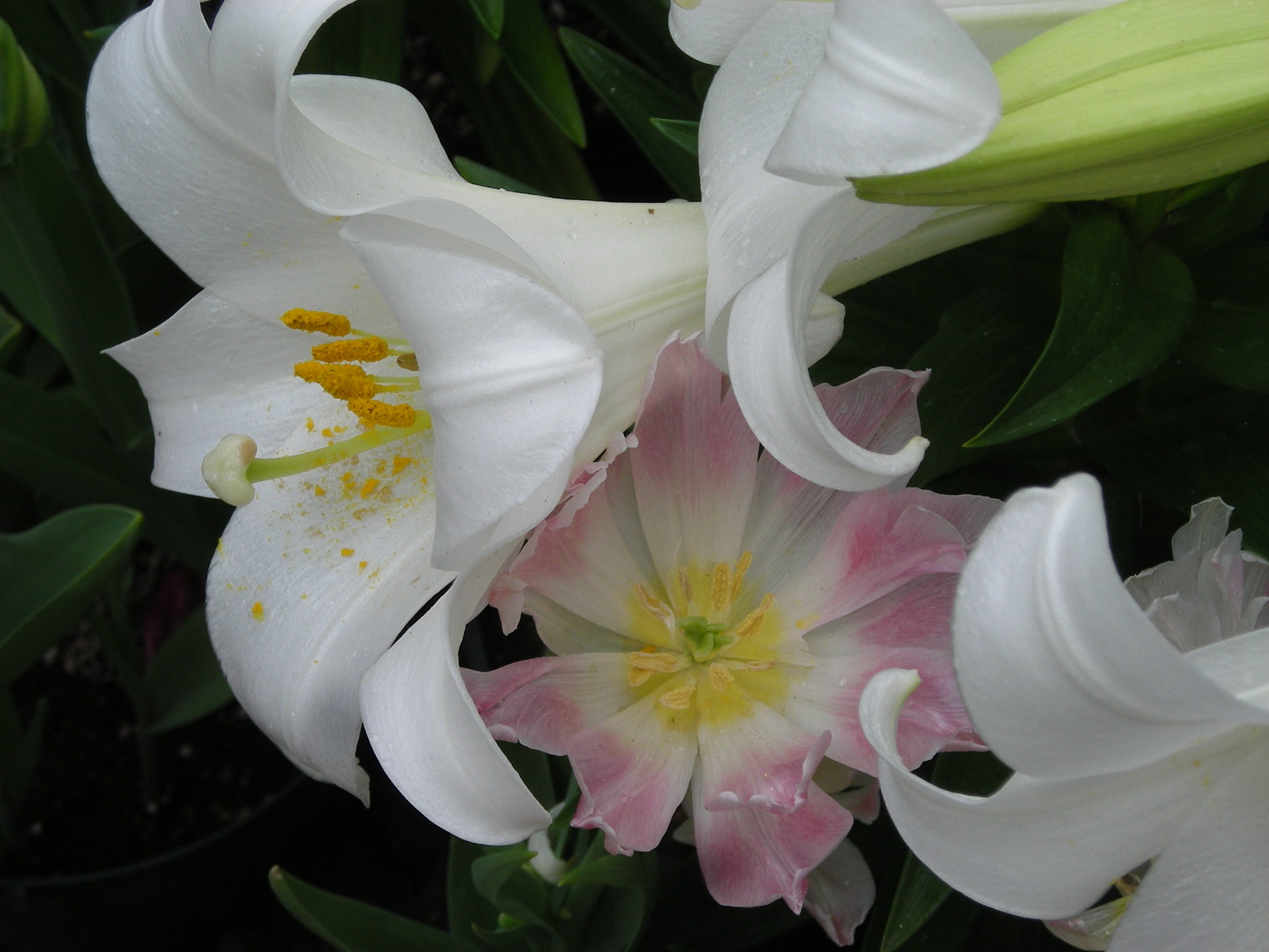 These Easter lilies were blooming at the Wilder Park Conservatory in  Elmhurst as a stormy Good Friday afternoon raged outside.