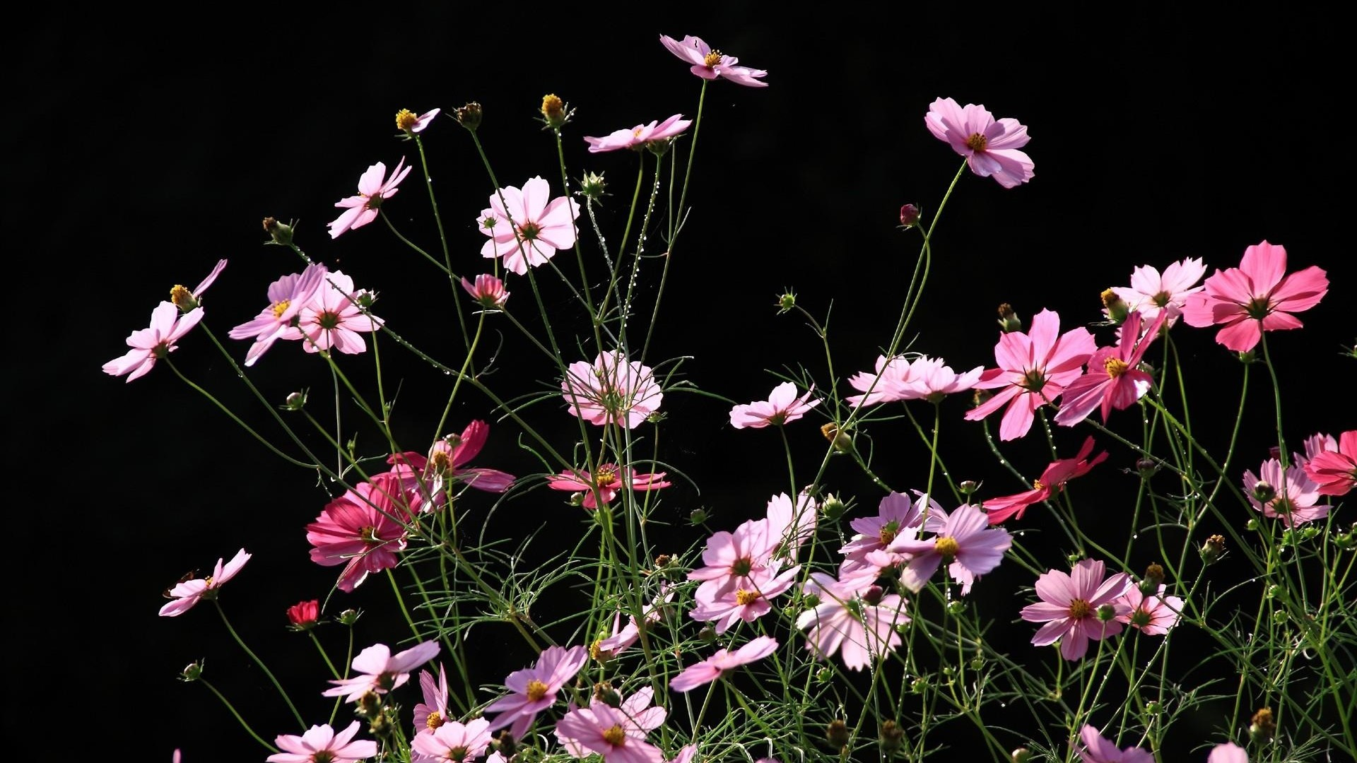 Get the latest kosmeya, flowers, black background news, pictures and videos  and learn all about kosmeya, flowers, black background from  wallpapers4u.org, …